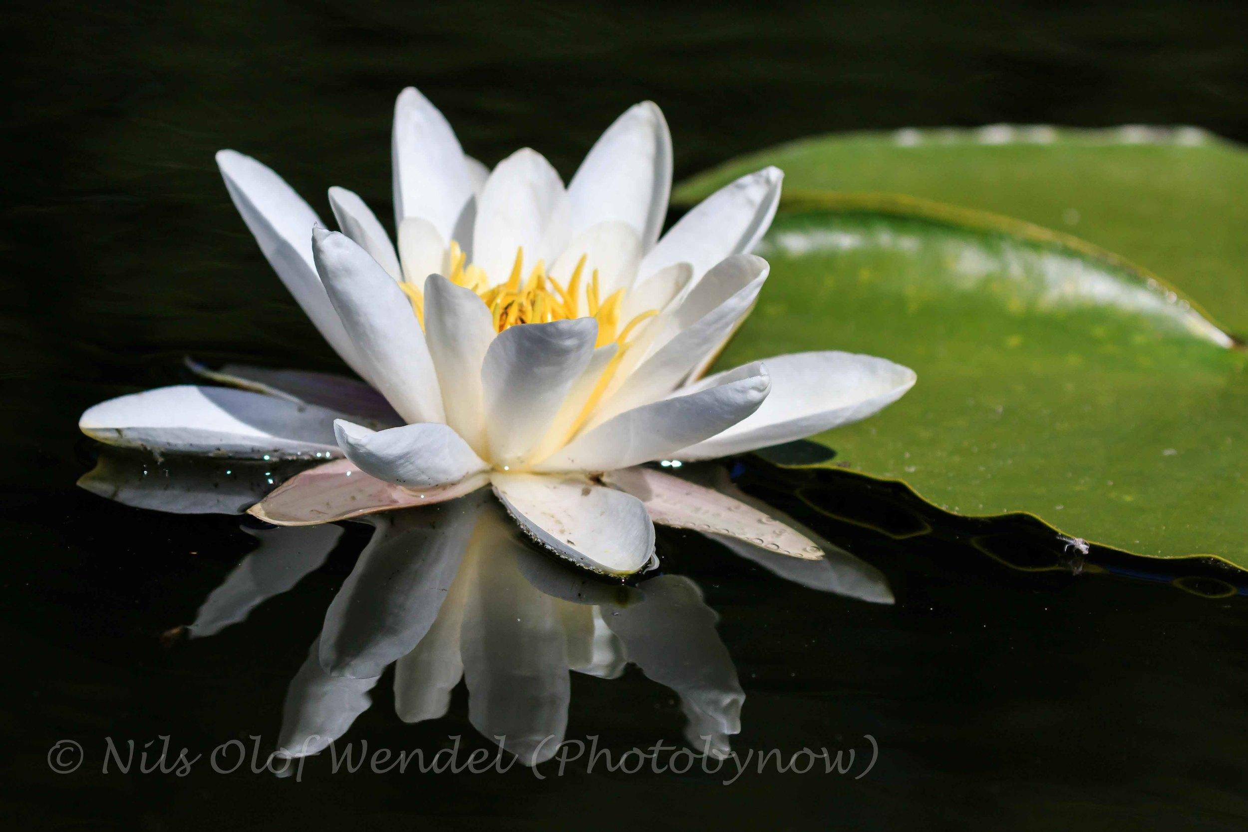 Water lily. (Näckros)