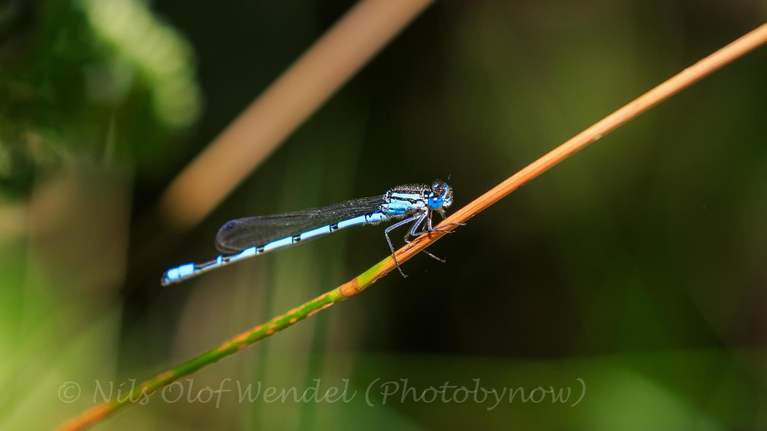 A tiny blue Odonata.