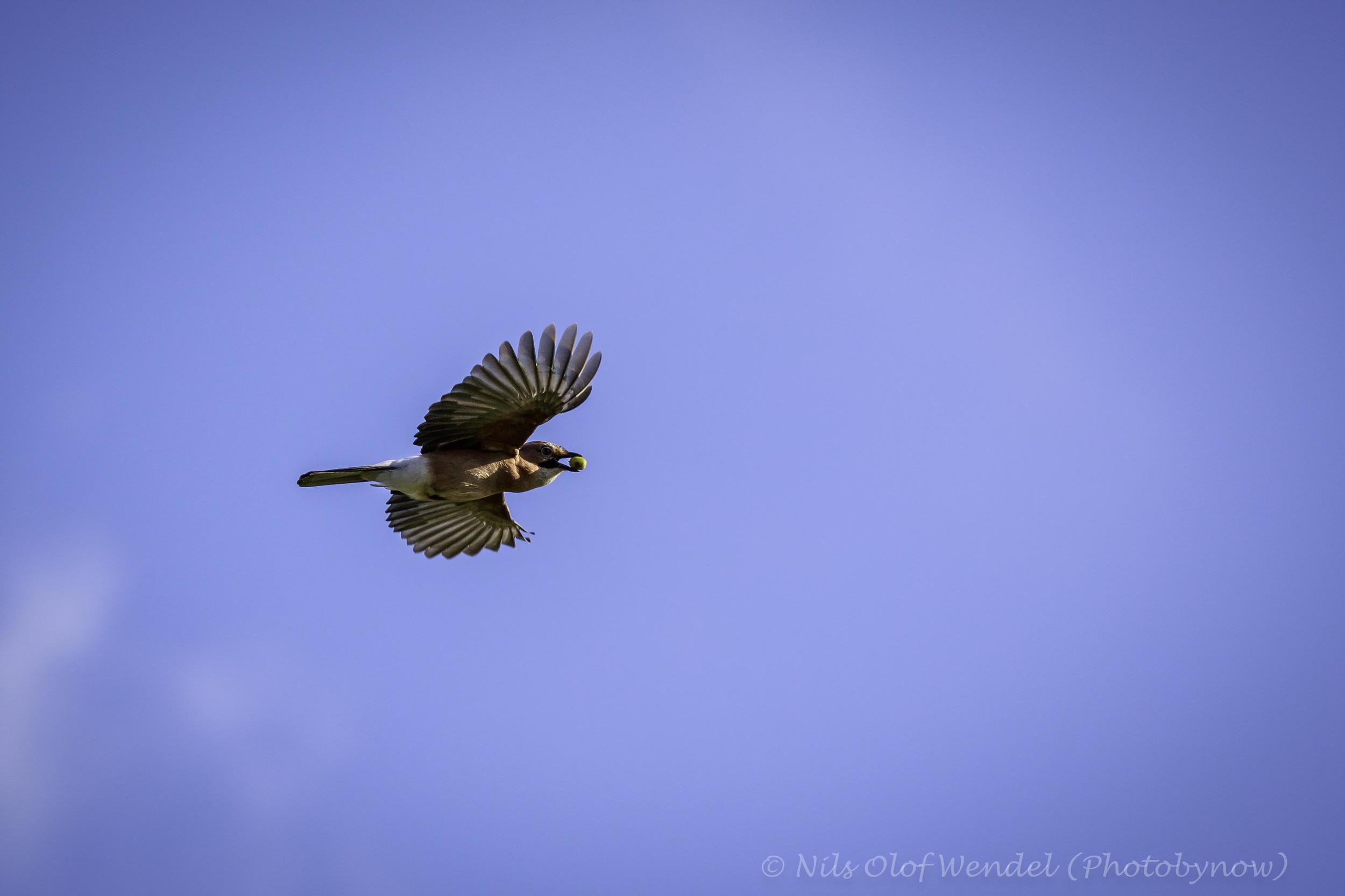 A Eurasian Jay carrying a nut.