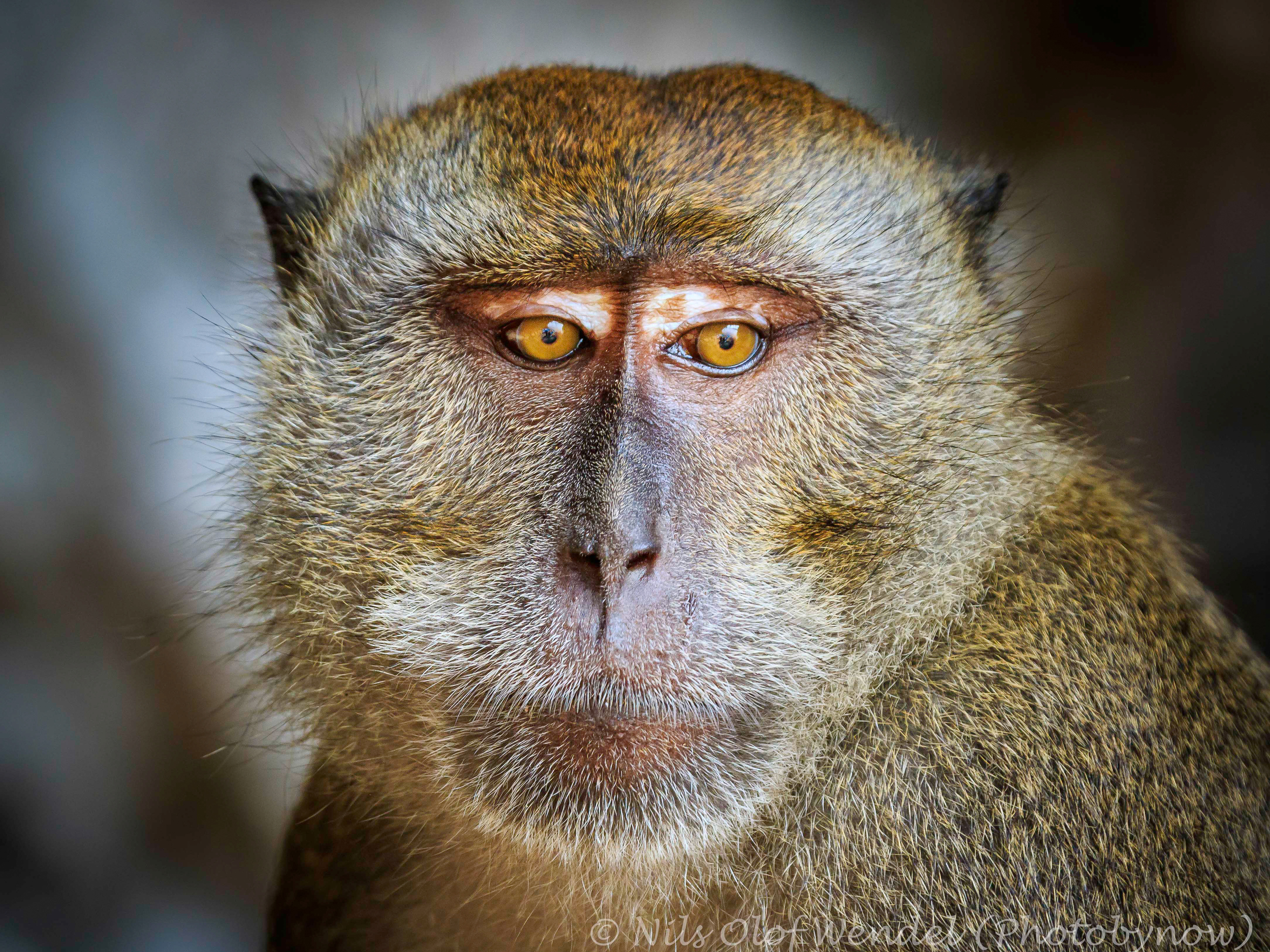 An Macaque monkey.