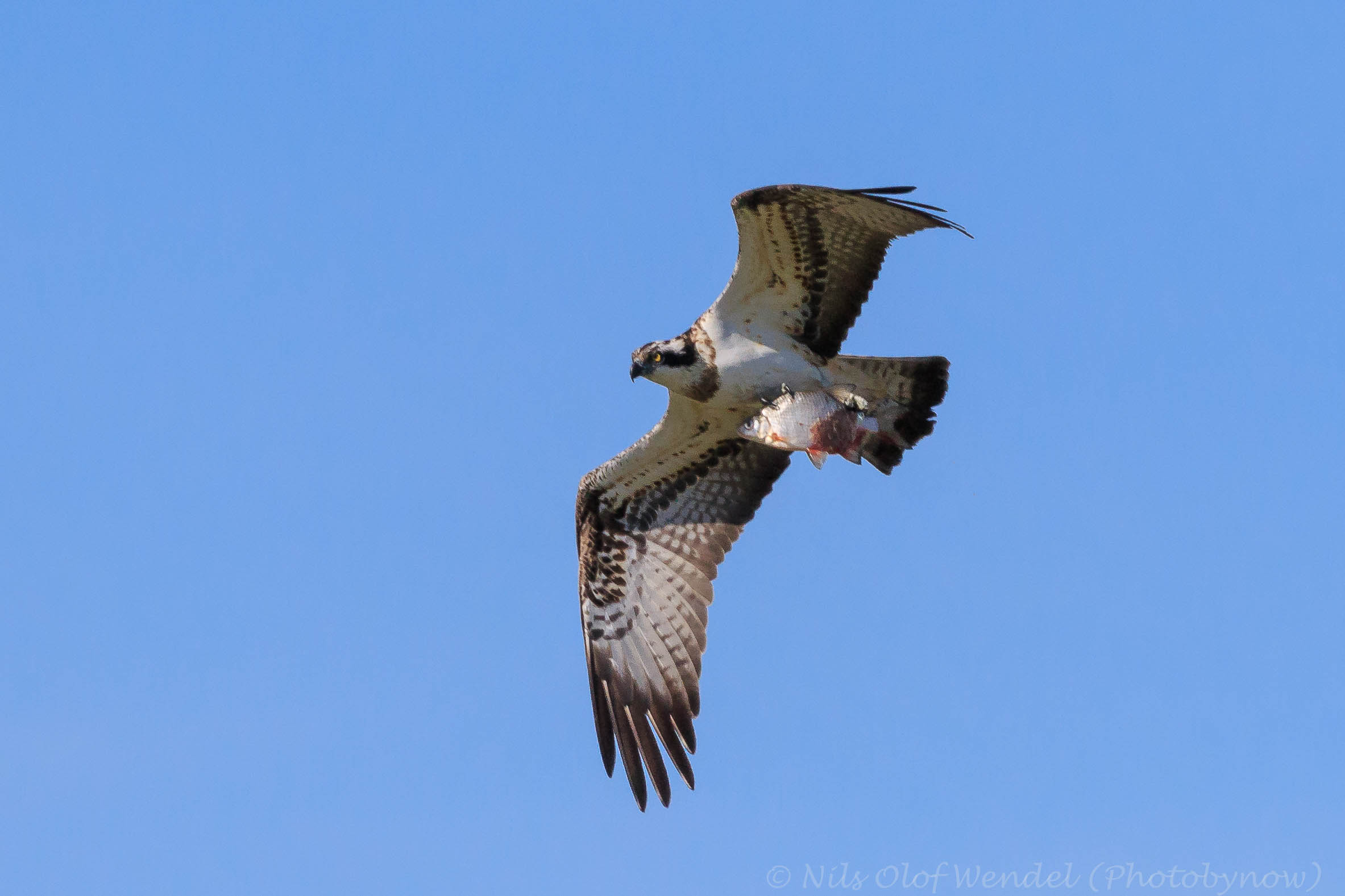Osprey and a fish.
