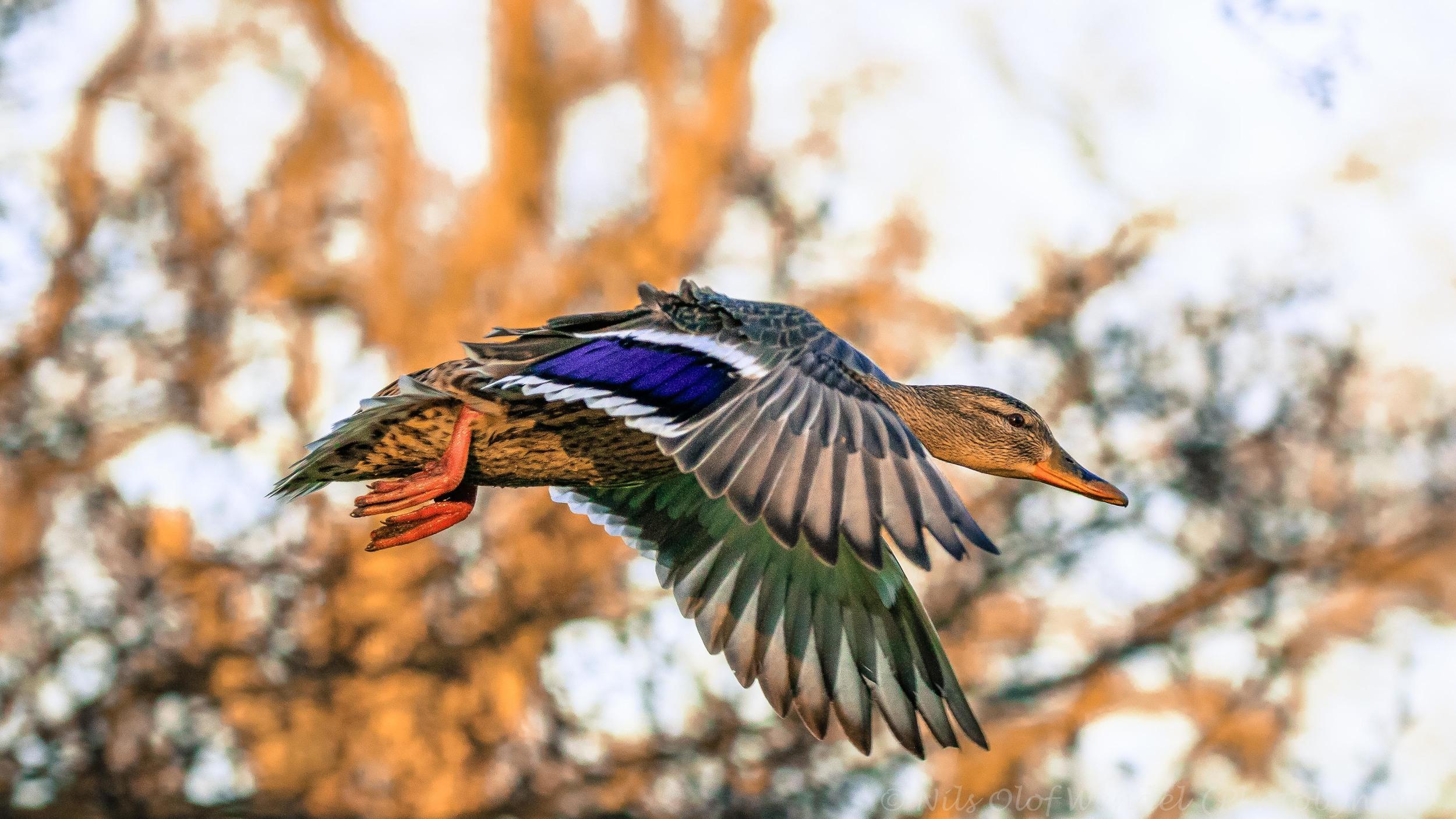 Flying Duck.