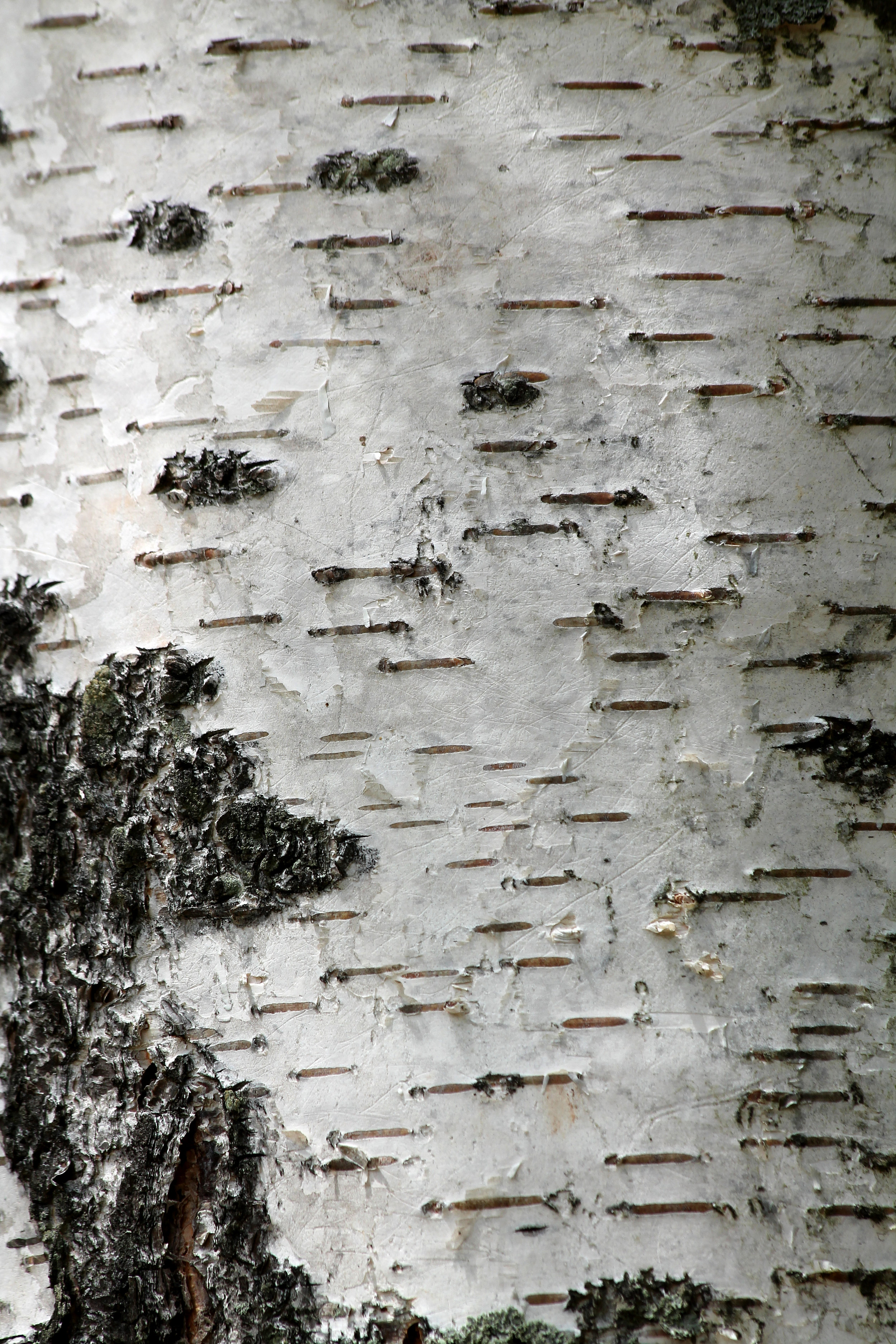 White Birch Extract