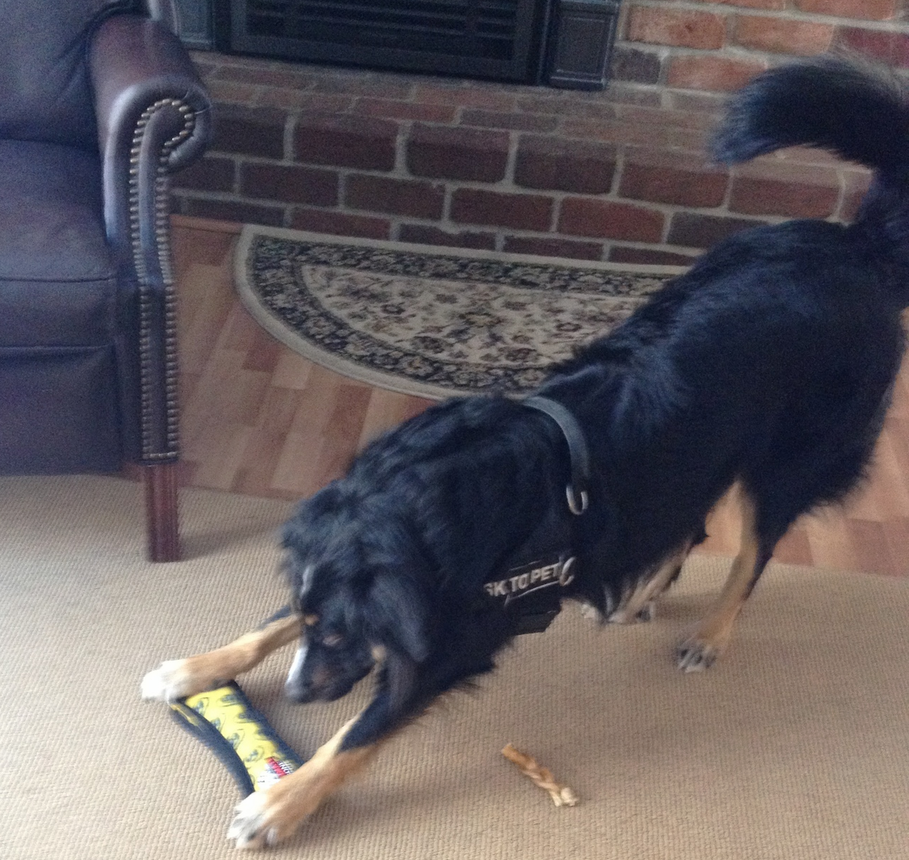 Ashe playing with his bone!