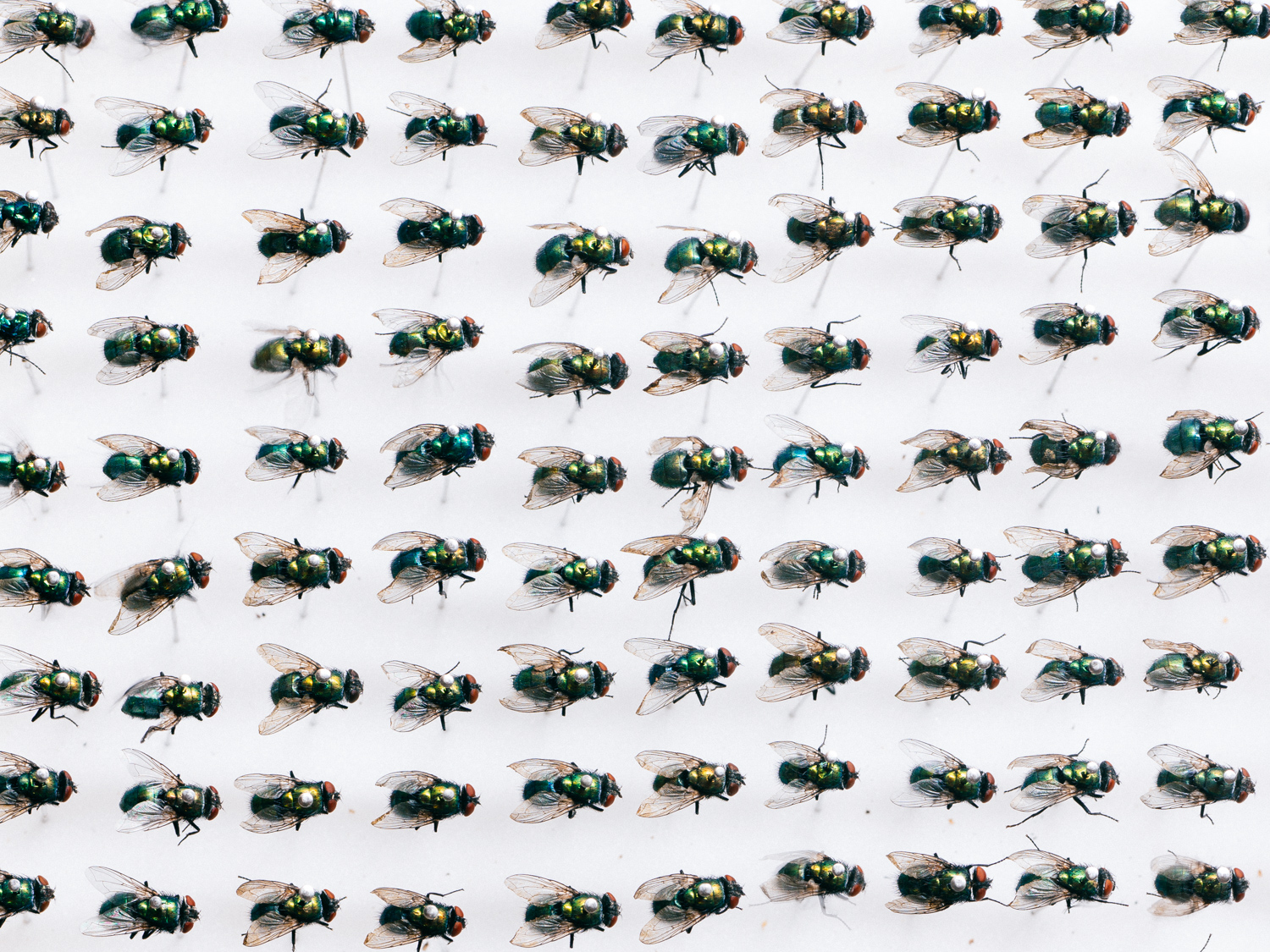 Pinned greenbottle flies ( Lucilia sericata )