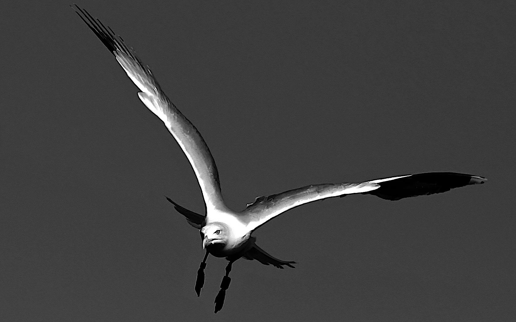 seagull in flight.jpg