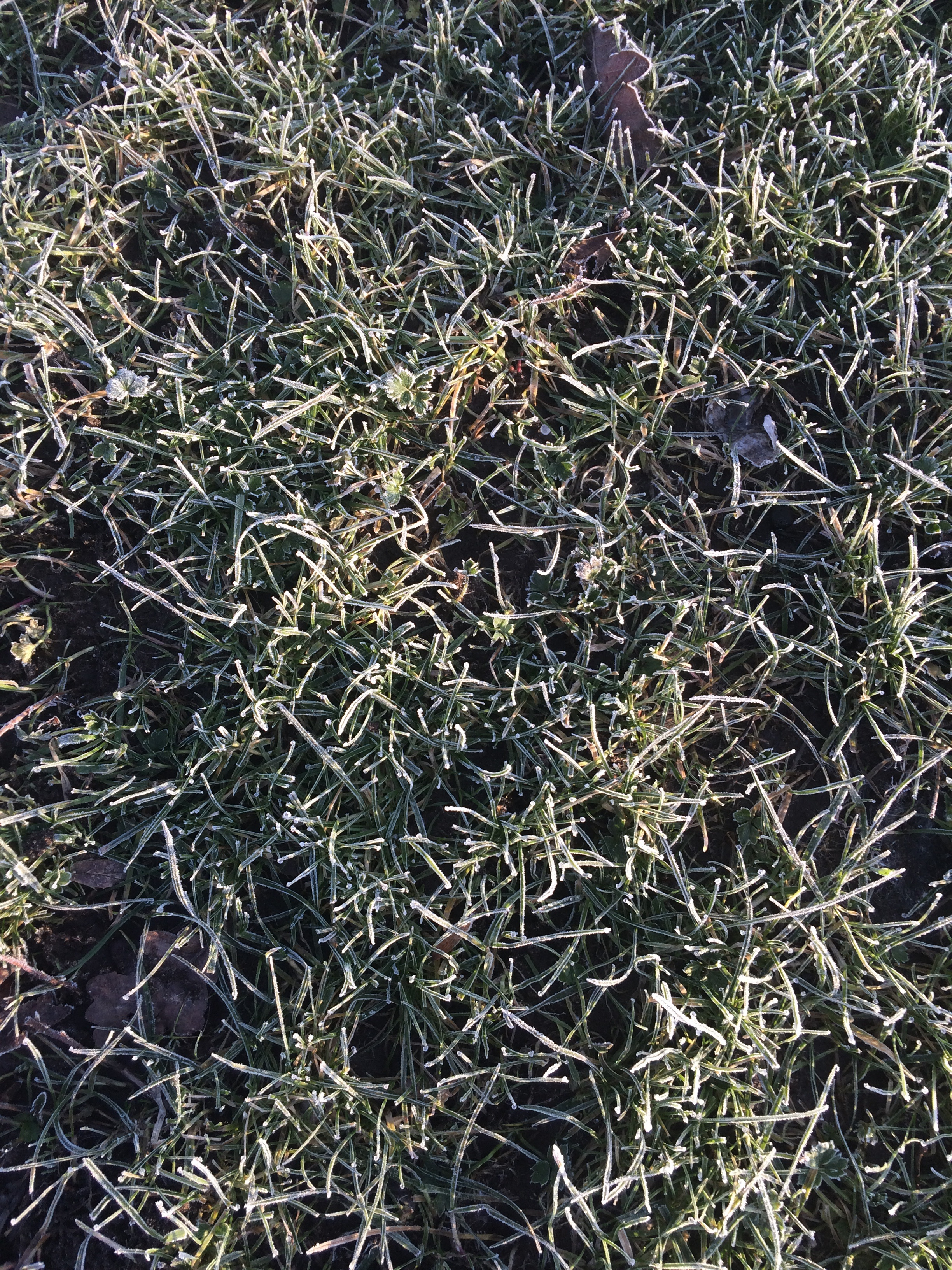 Frosty grass in Woolston park