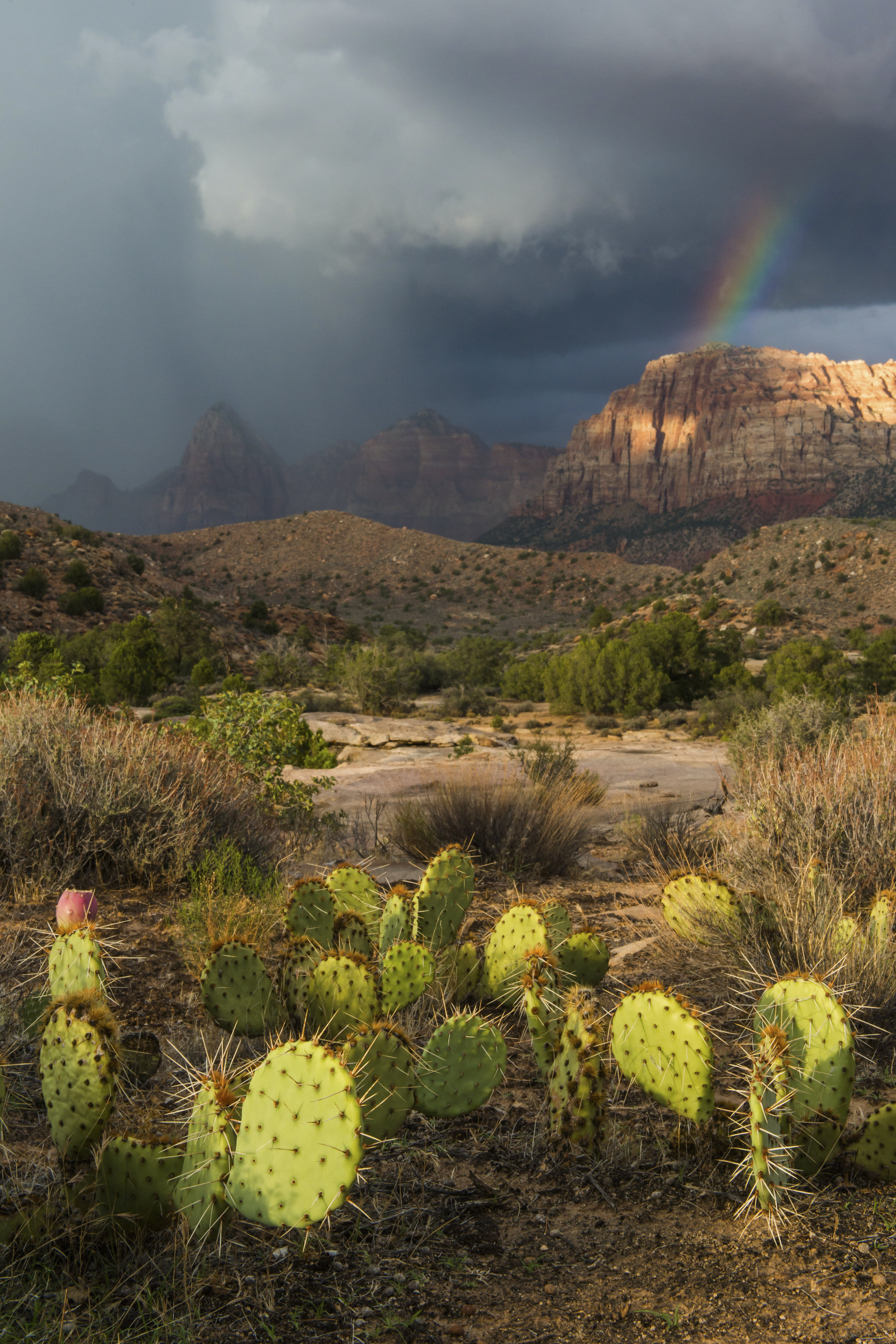 Monsoon with Zion at Sunset with Cactus Foreground