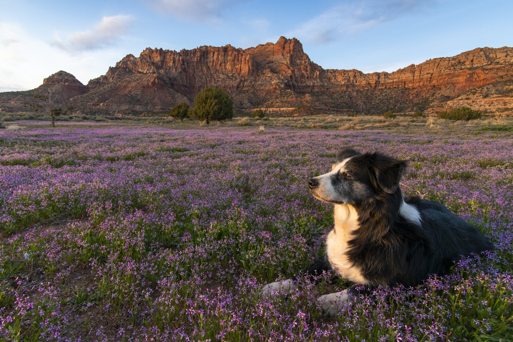 Zion with Wildflowers and Dog