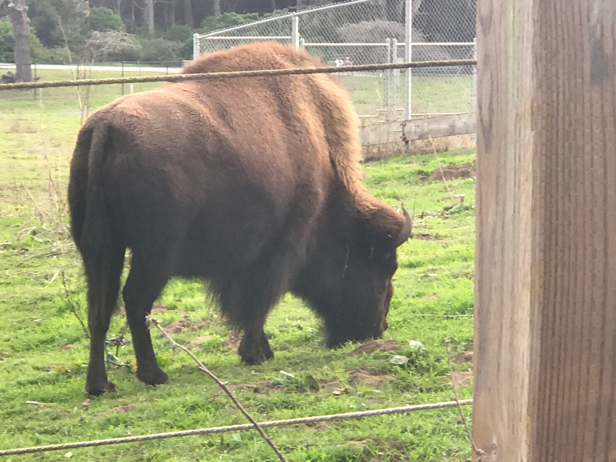 Yes, there's a bison paddock in Golden Gate Park.