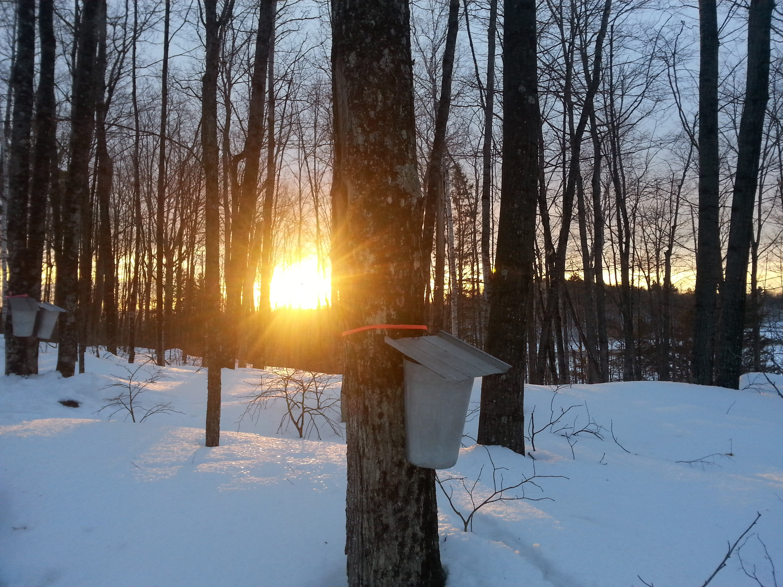 Maple Sap Harvesting -