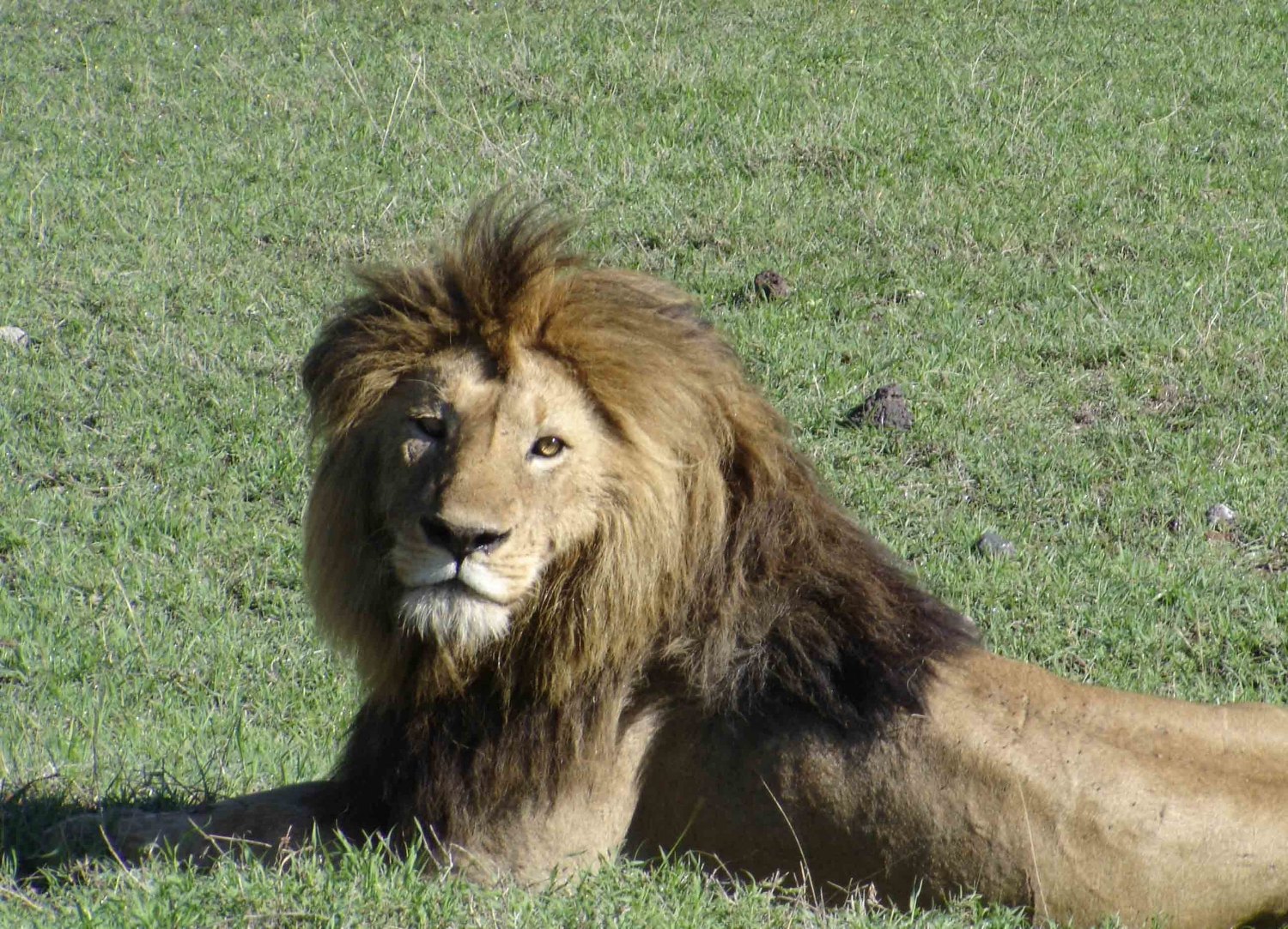 Male Lion, Ngorongoro Crater