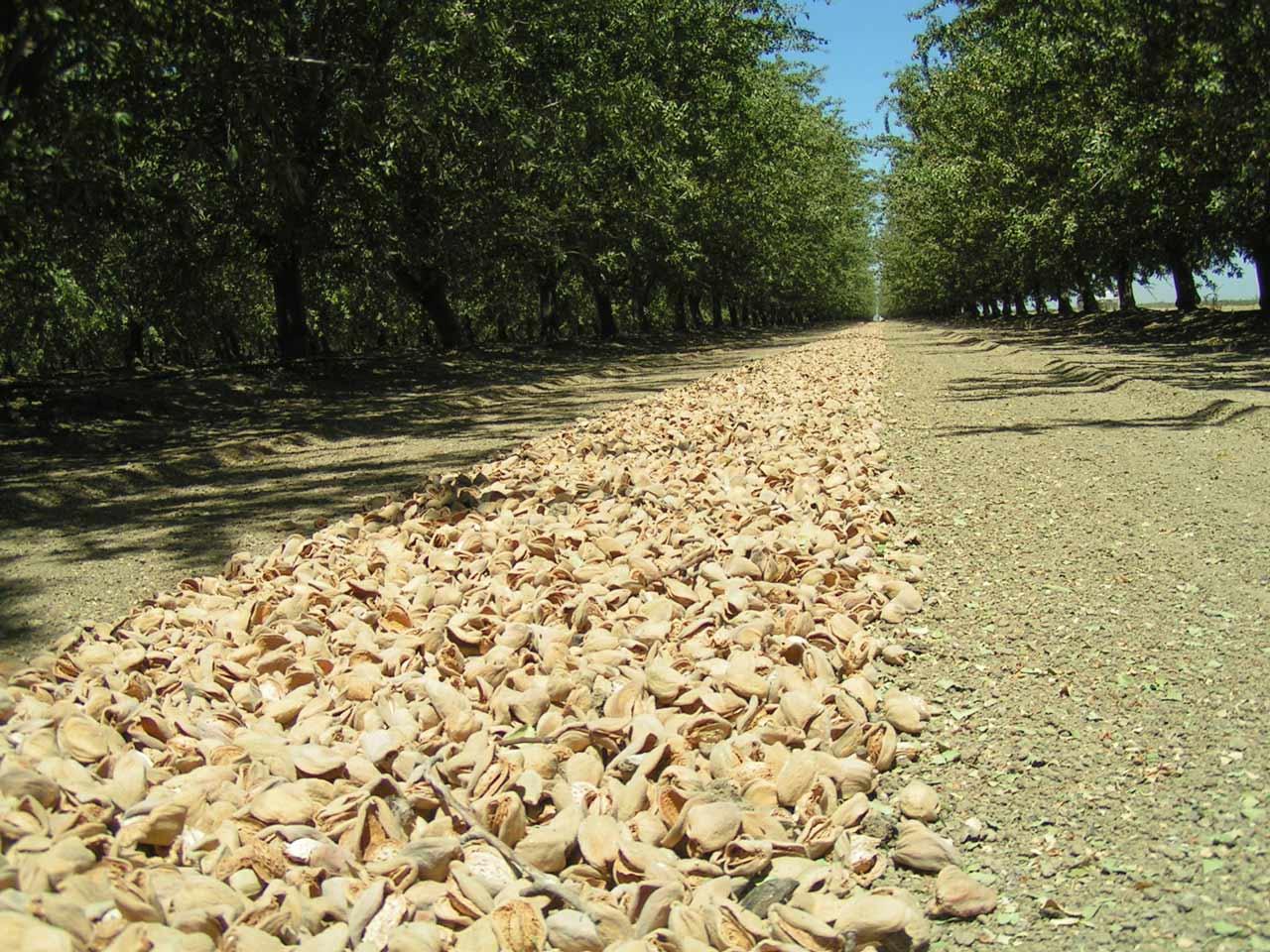 almonds on the ground.jpg