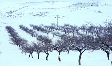 Late April snow and frost in Apricot orchards.