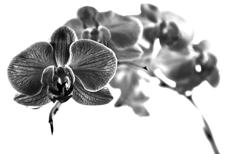 Study of an Orchid #2