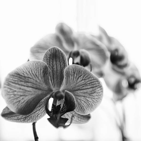 Study of an Orchid #8