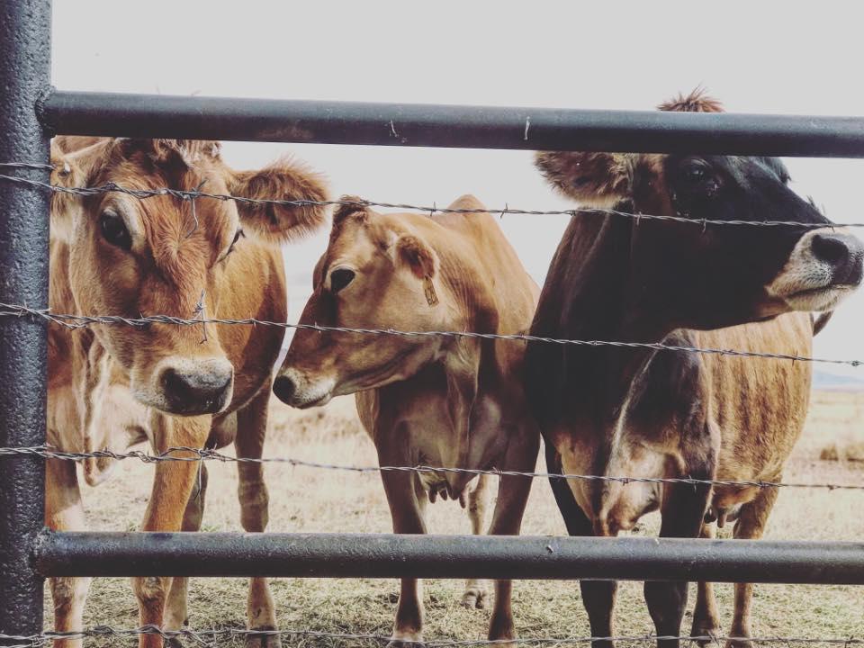proverbsfarm_cows