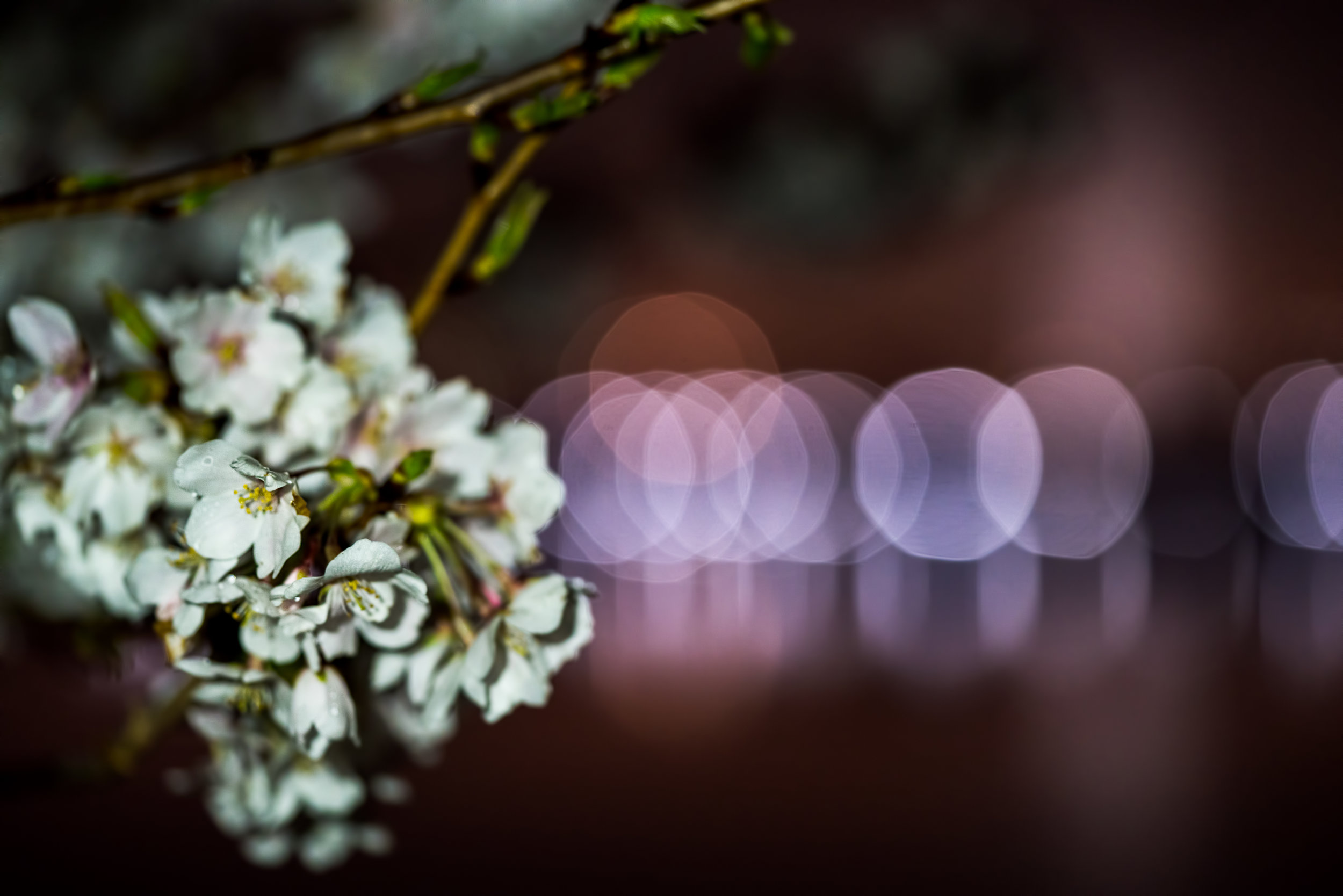 This one was a shot I had in my head with the Cherry Blossoms and the City/Car lights in the distance providing the Bokeh. #Sony A7RM2, F/2.8, 1/60th, ISO 1600