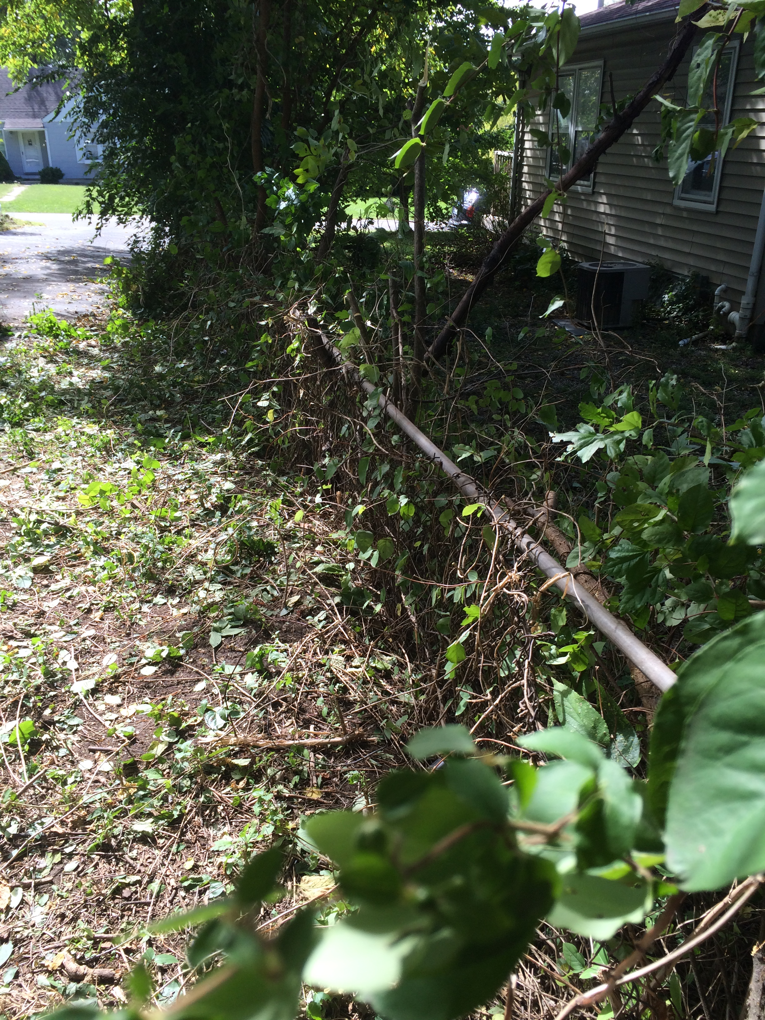 Horrible, buried, overgrown shit. This is after removing the giant hedge.