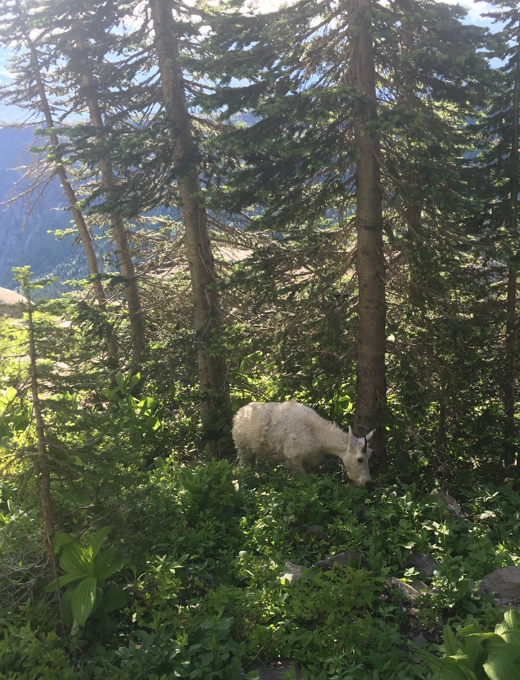 High Line Trail - goat.JPG