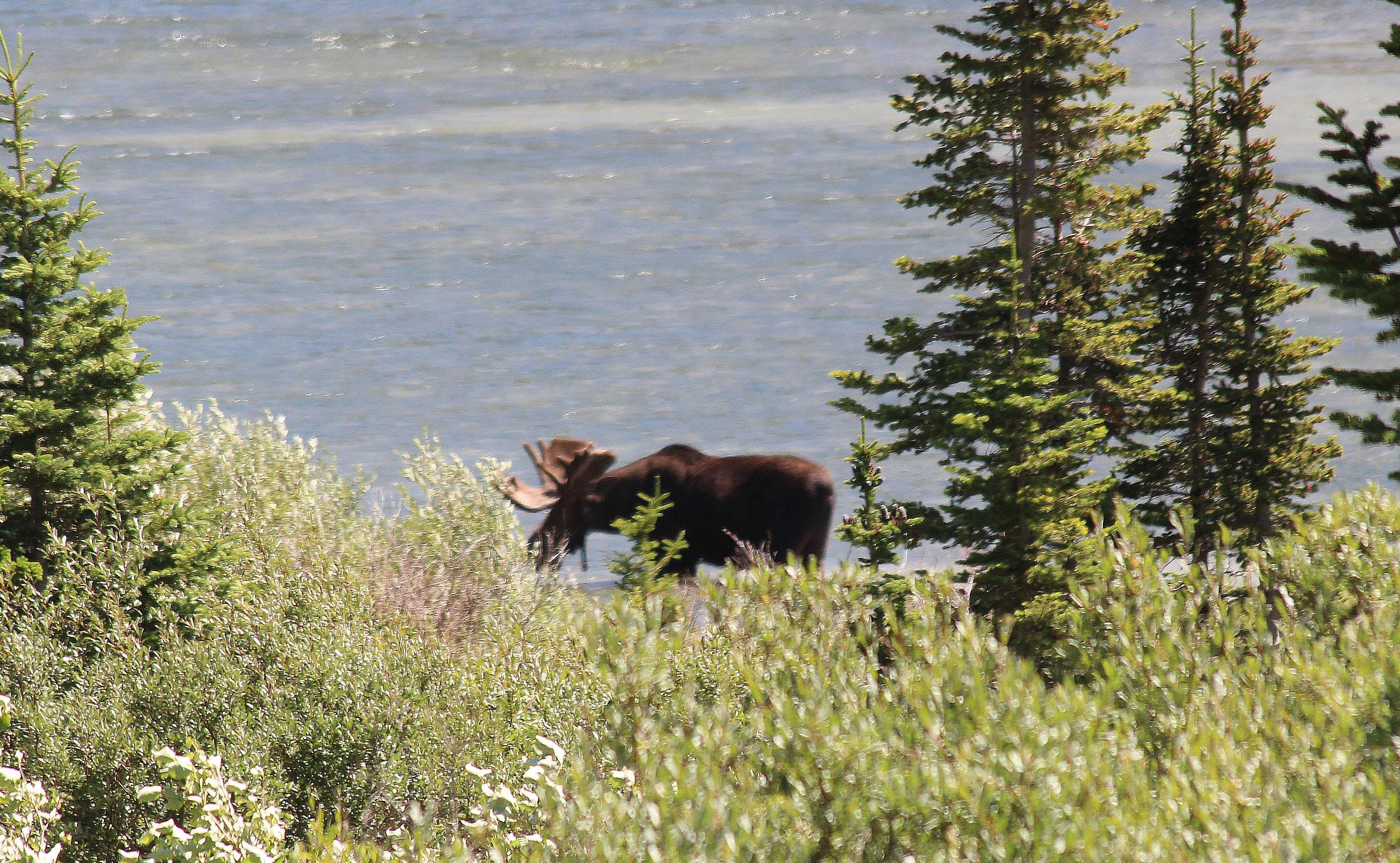 animals Moose.jpg