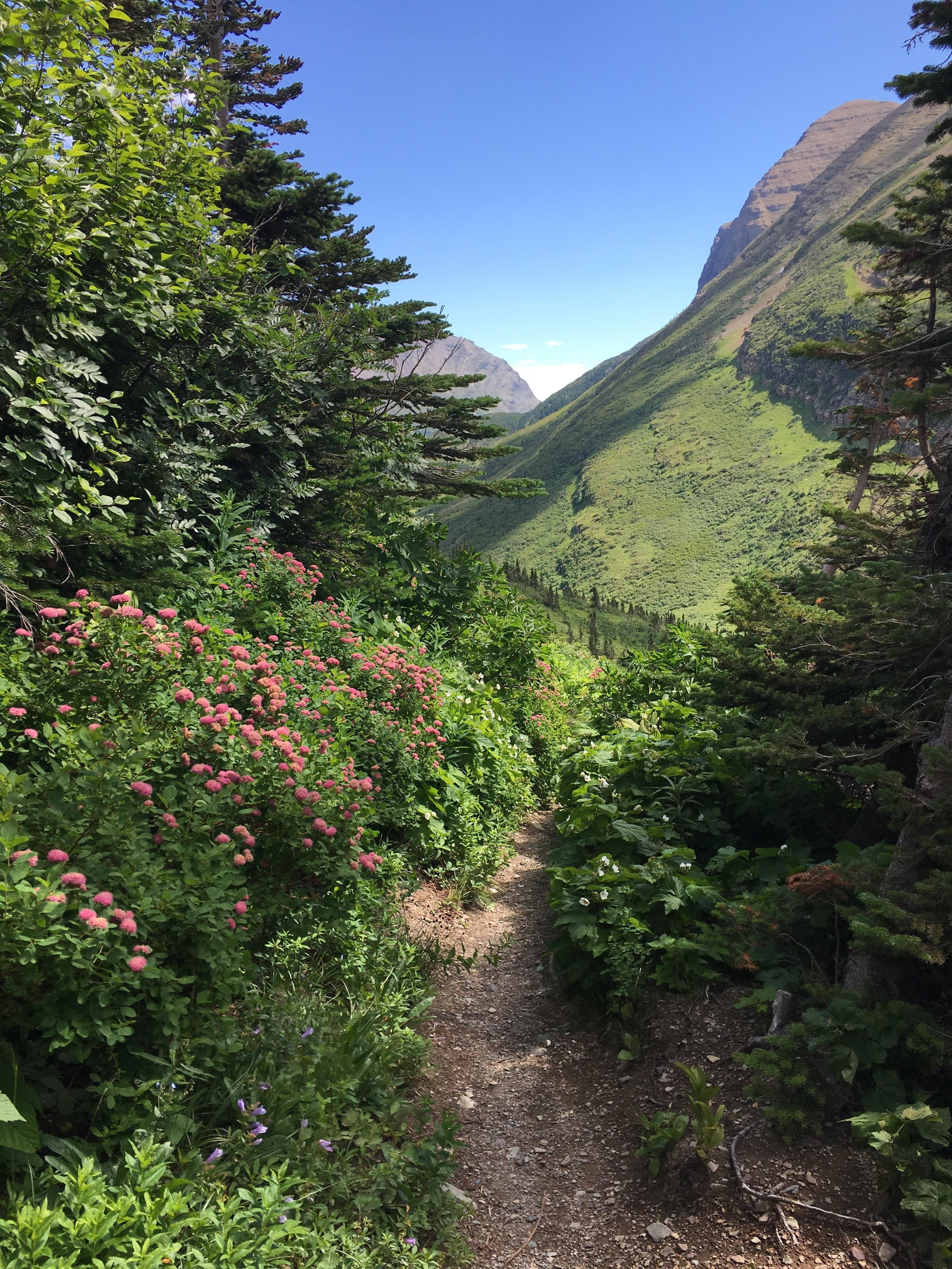 Swiftcurrent trail flowers.JPG
