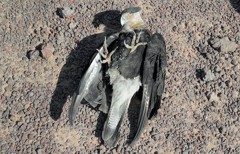 Eagle, found along the US-Mexico border, 2013