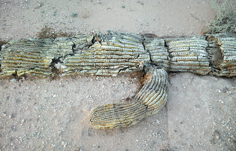 Fallen saguaro, 2013