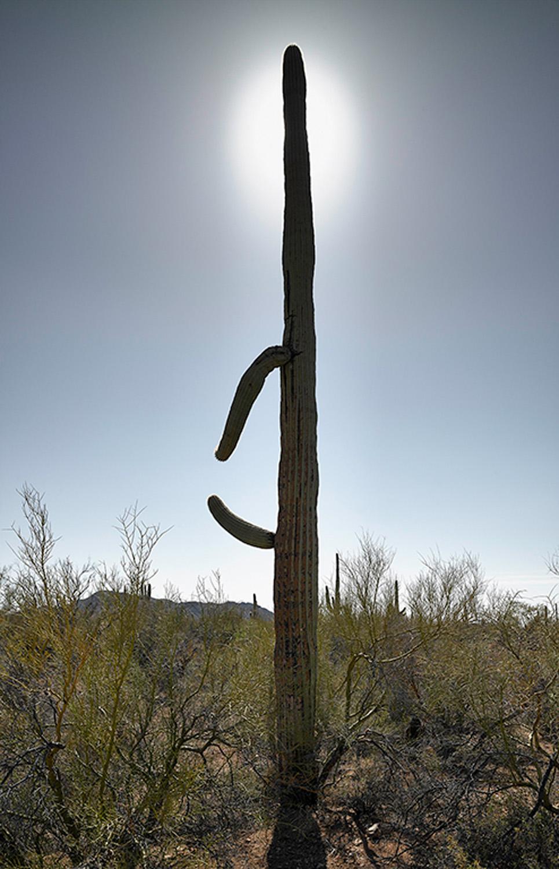 Saguaro with halo, 2013