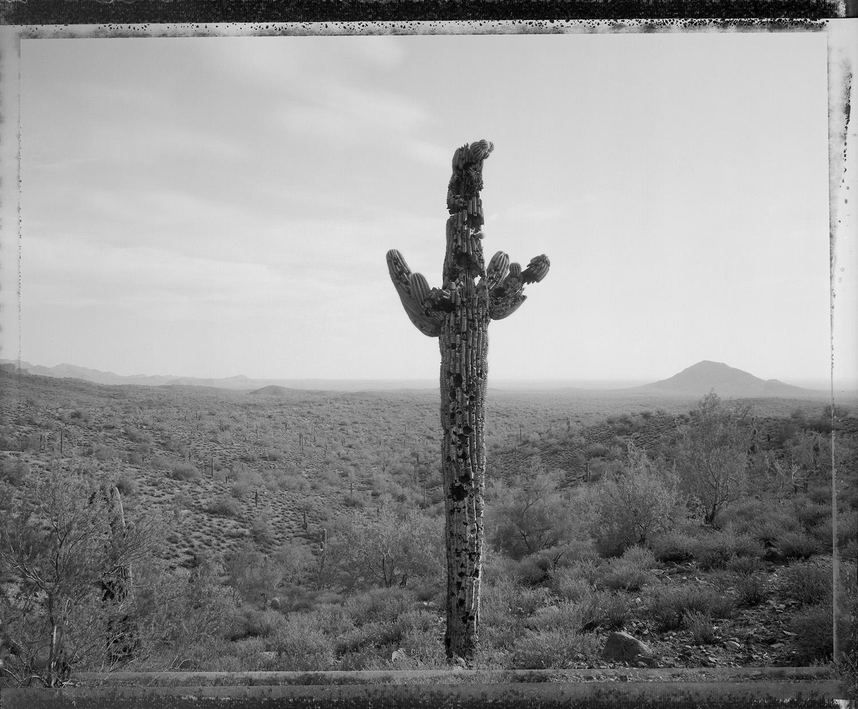 Bullet-riddled saguaro, near Fountain Hills, 1982