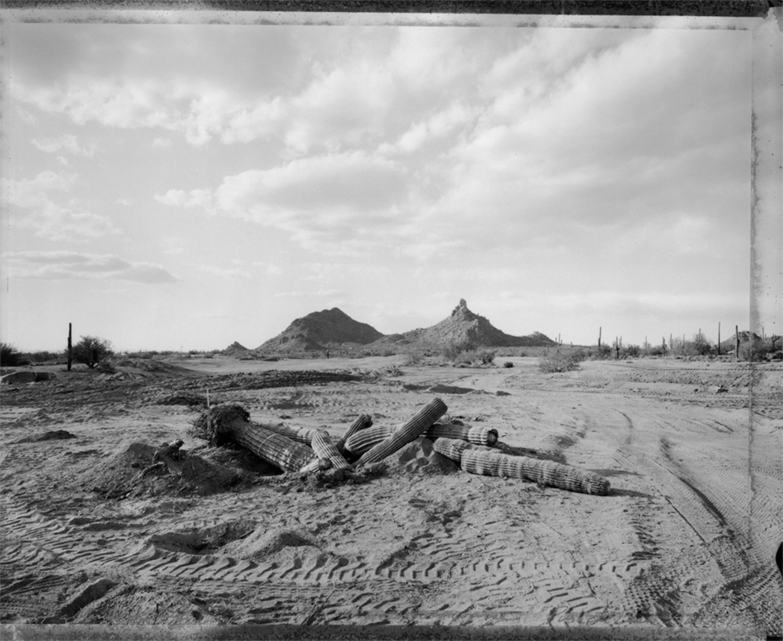 Fallen cactus, new golf course, Pinnacle Pk, 1984