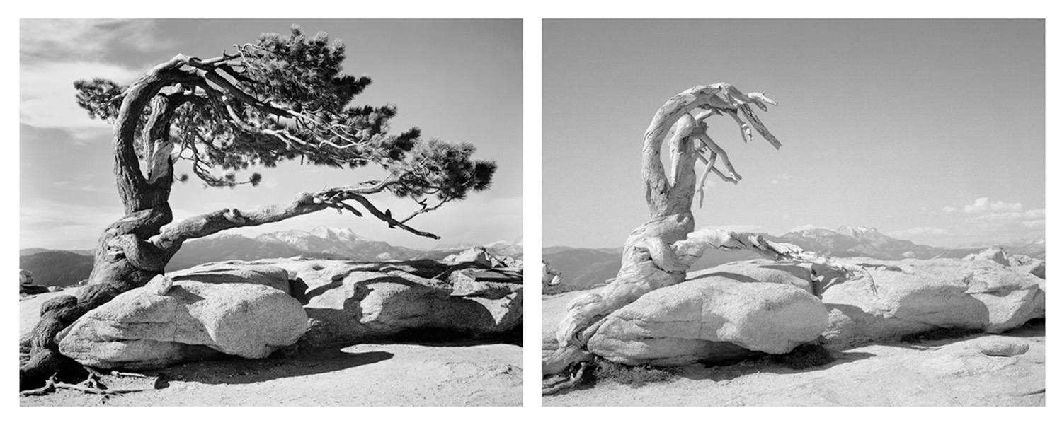 LEFT: Ansel Adams, Jeffrey Pine, Sentinel Dome, Yosemite National Park, California, c. 1940  RIGHT: Mark Klett and Byron Wolfe, The trunk of the Jeffrey Pine, killed by drought, Sentinel Dome, 2002