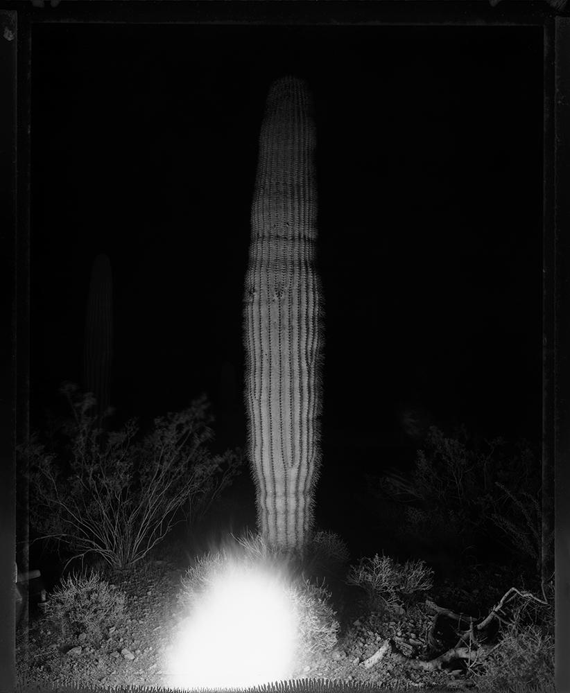 Campfire saguaro, Kofa Range, 1993
