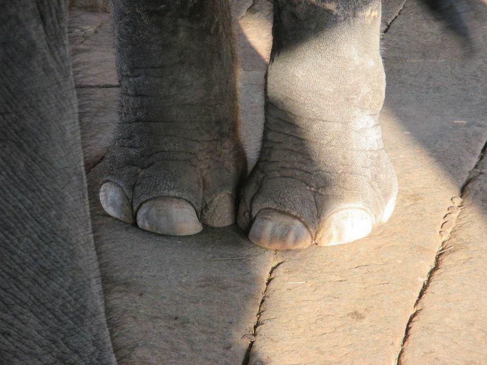 Laxmi's toes.