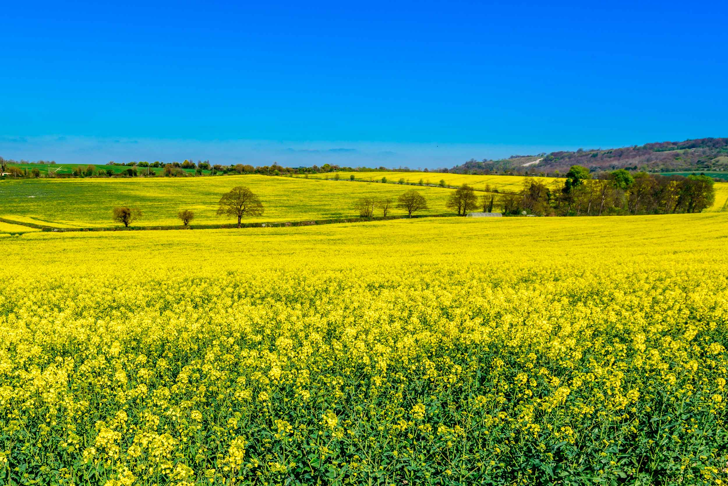 A classic Chilterns scene of rapeseed fields in the spring  (Stephen Tucker/Shutterstock)