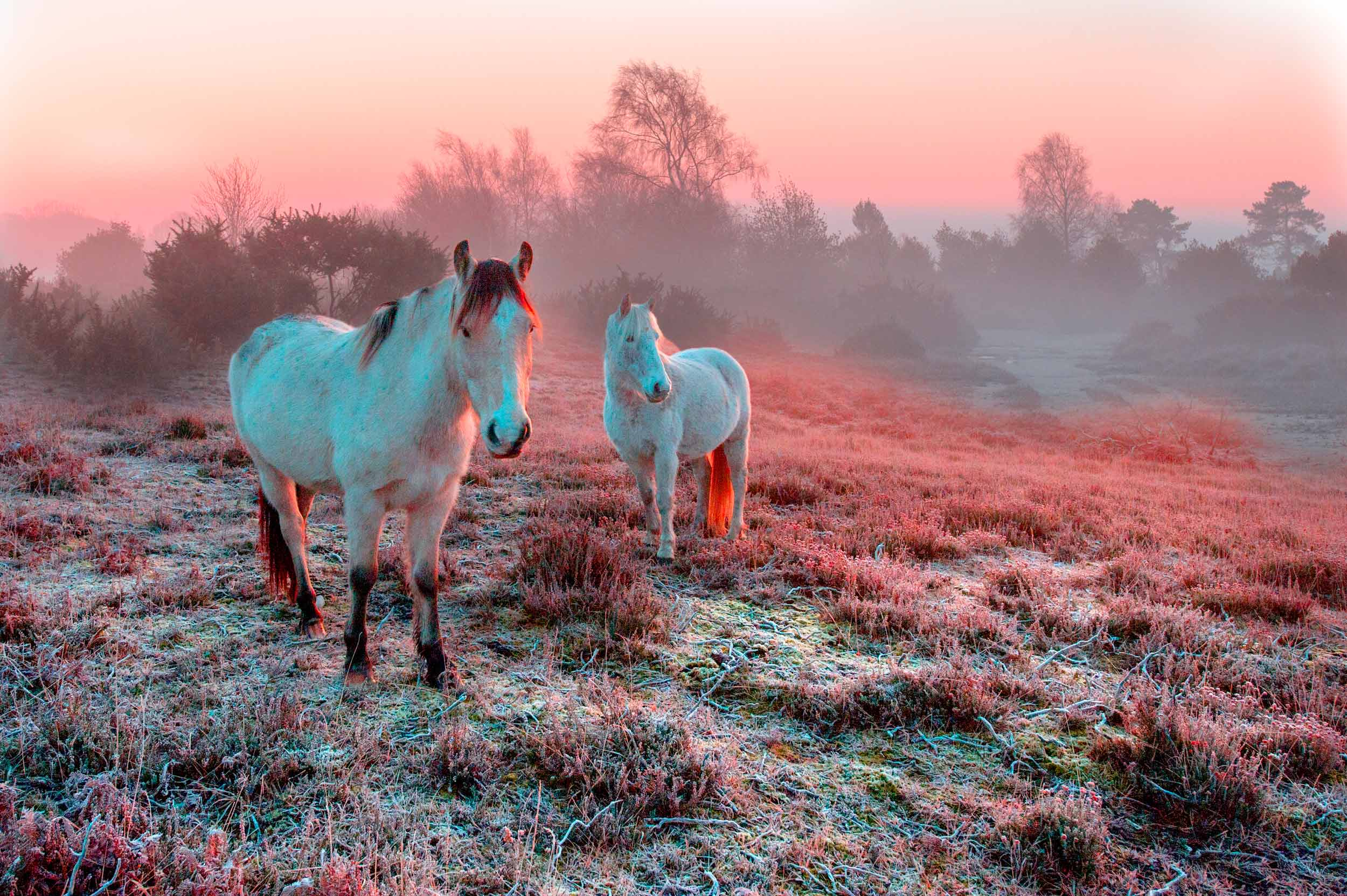 New Forest ponies  (David R Thompson/Shutterstock)