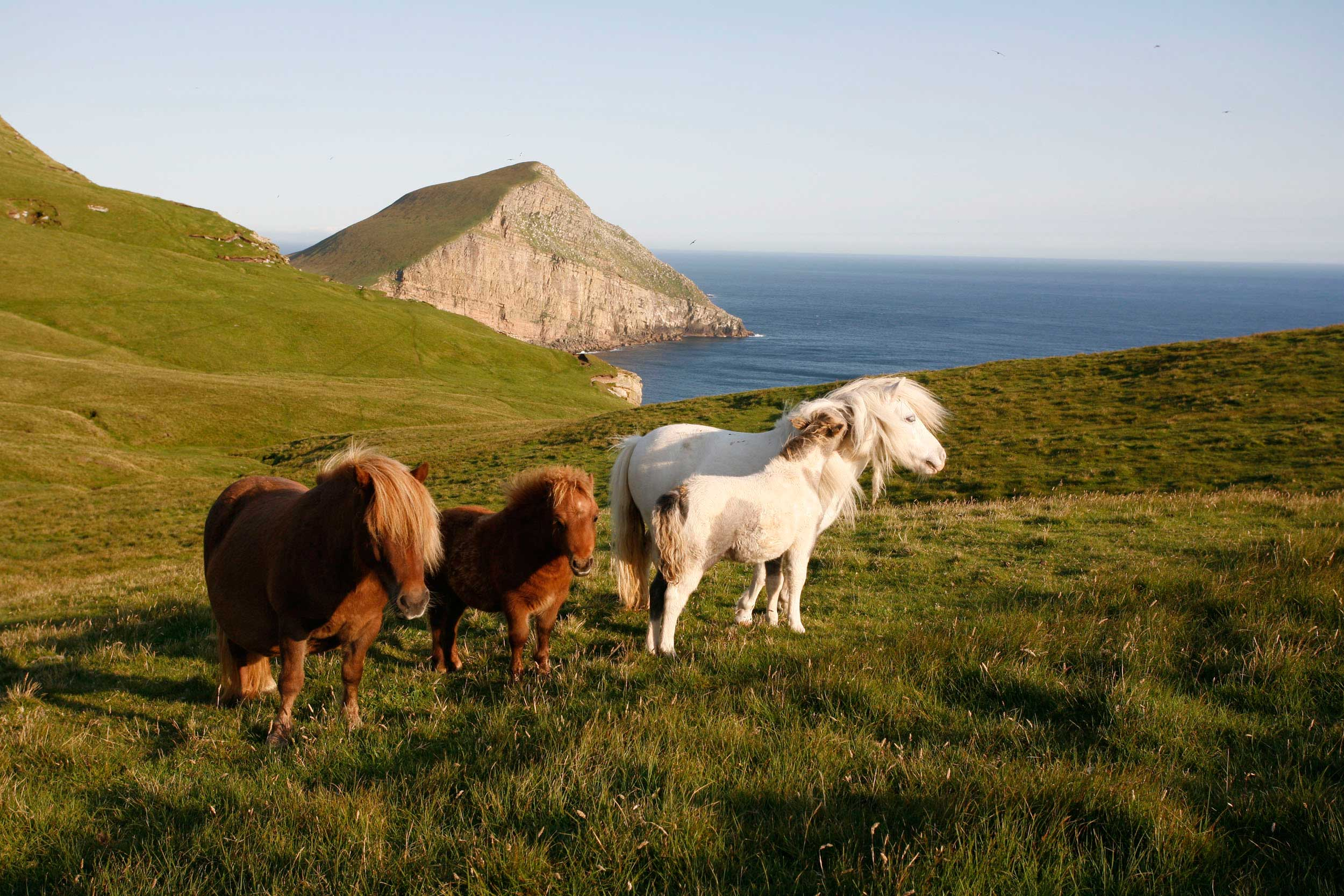 Ponies with exemplary 80s coiffure on the remote island of Foula, Shetland  (VisitScotland)