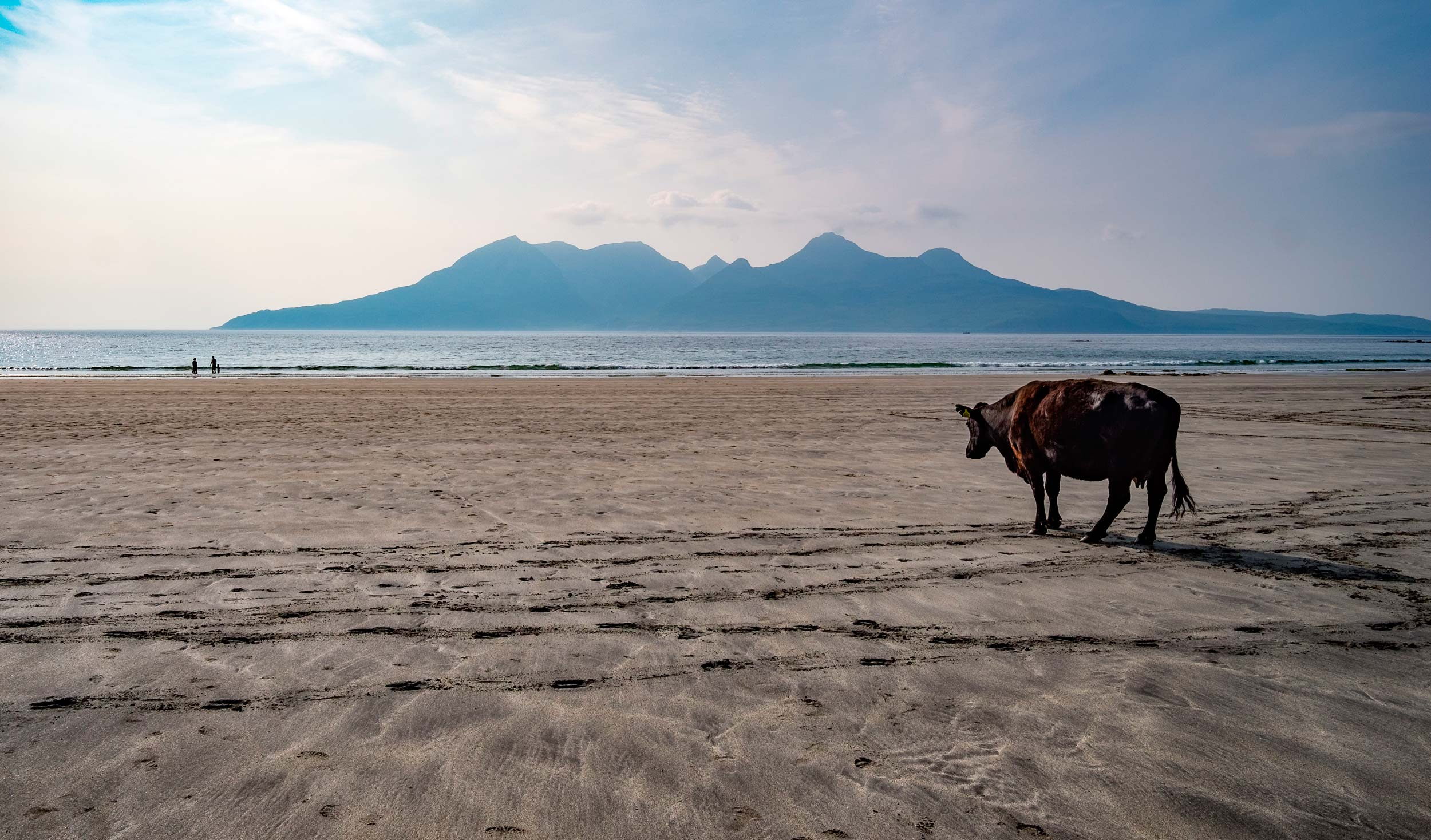 The Rum Cuillin, and a large cow, seen from a beach on Eigg, one of the Small Isles, Scotland  (Mark David Williams/Shutterstock)