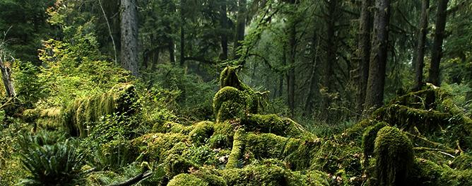 KIC3213-Rain-Forest-Landscape-Hoh-Rain-Forest-Olympic-NP-Washington.jpg