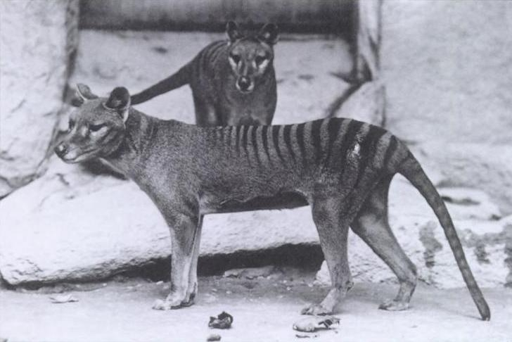 An image of the now extinct thylacine ( Image Source )
