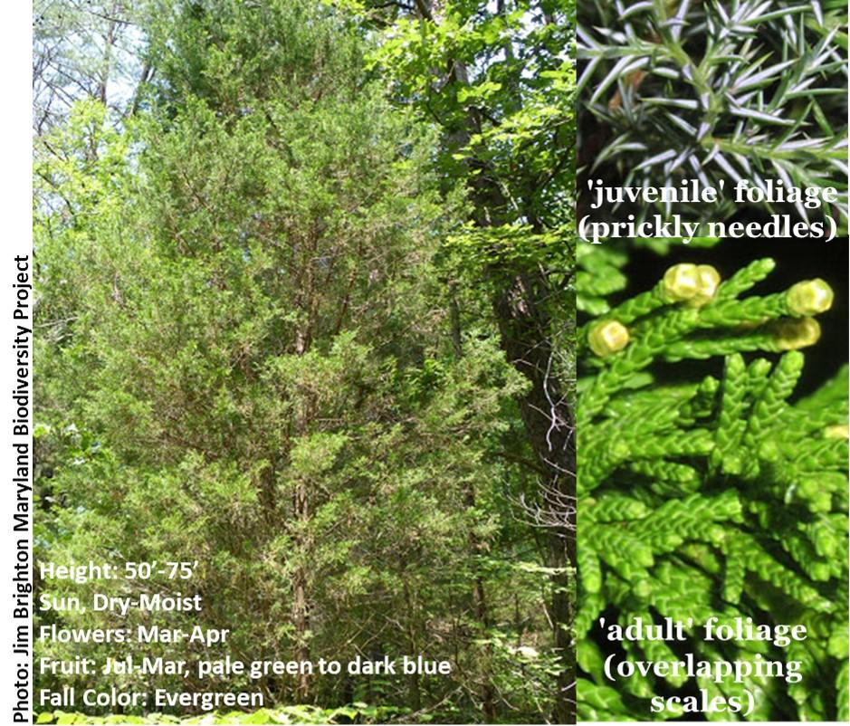 Juniperus_Main.jpg
