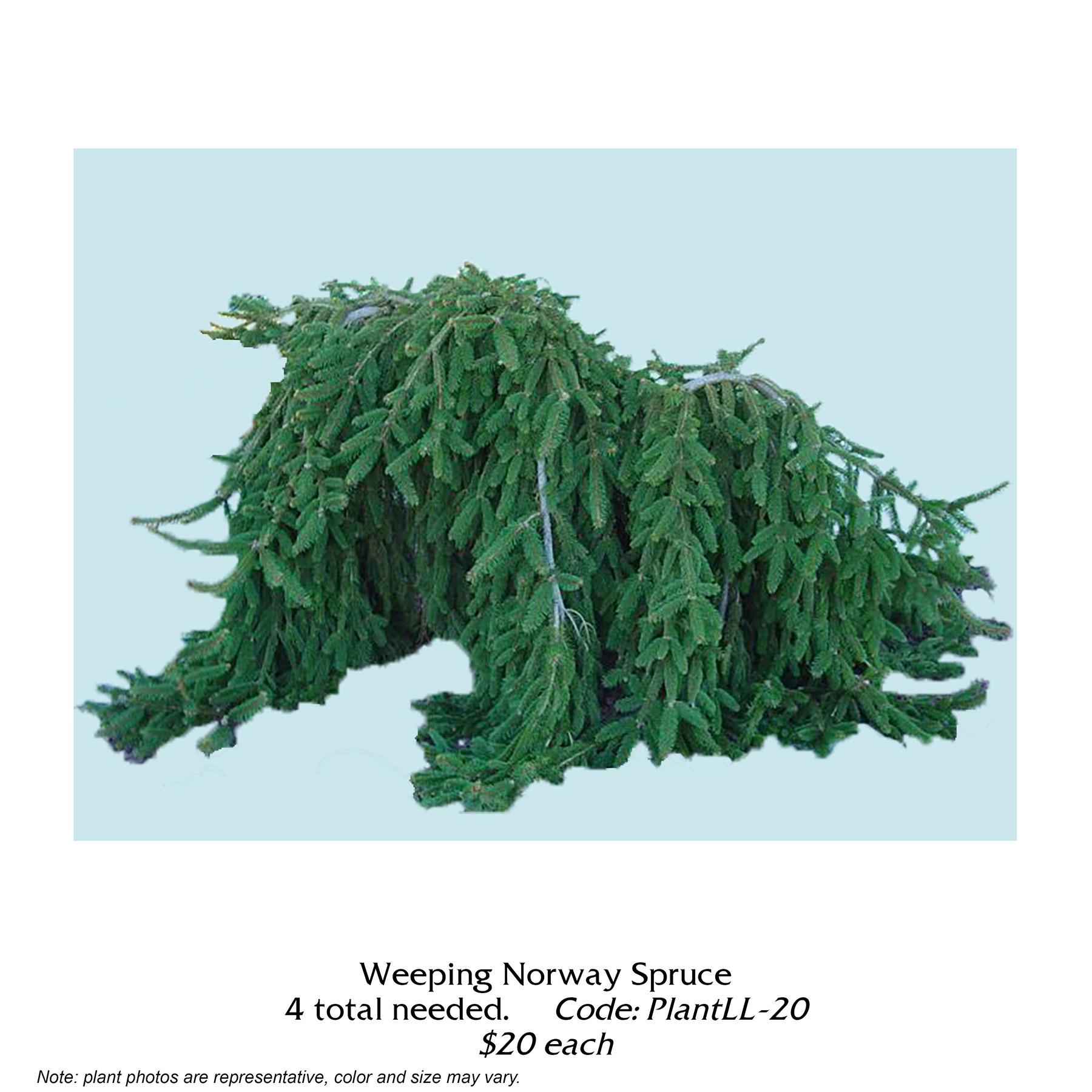 weeping norway spruce.jpg