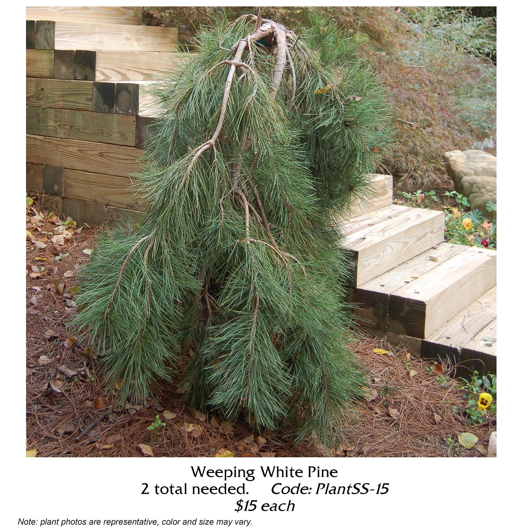 weeping white pine.jpg