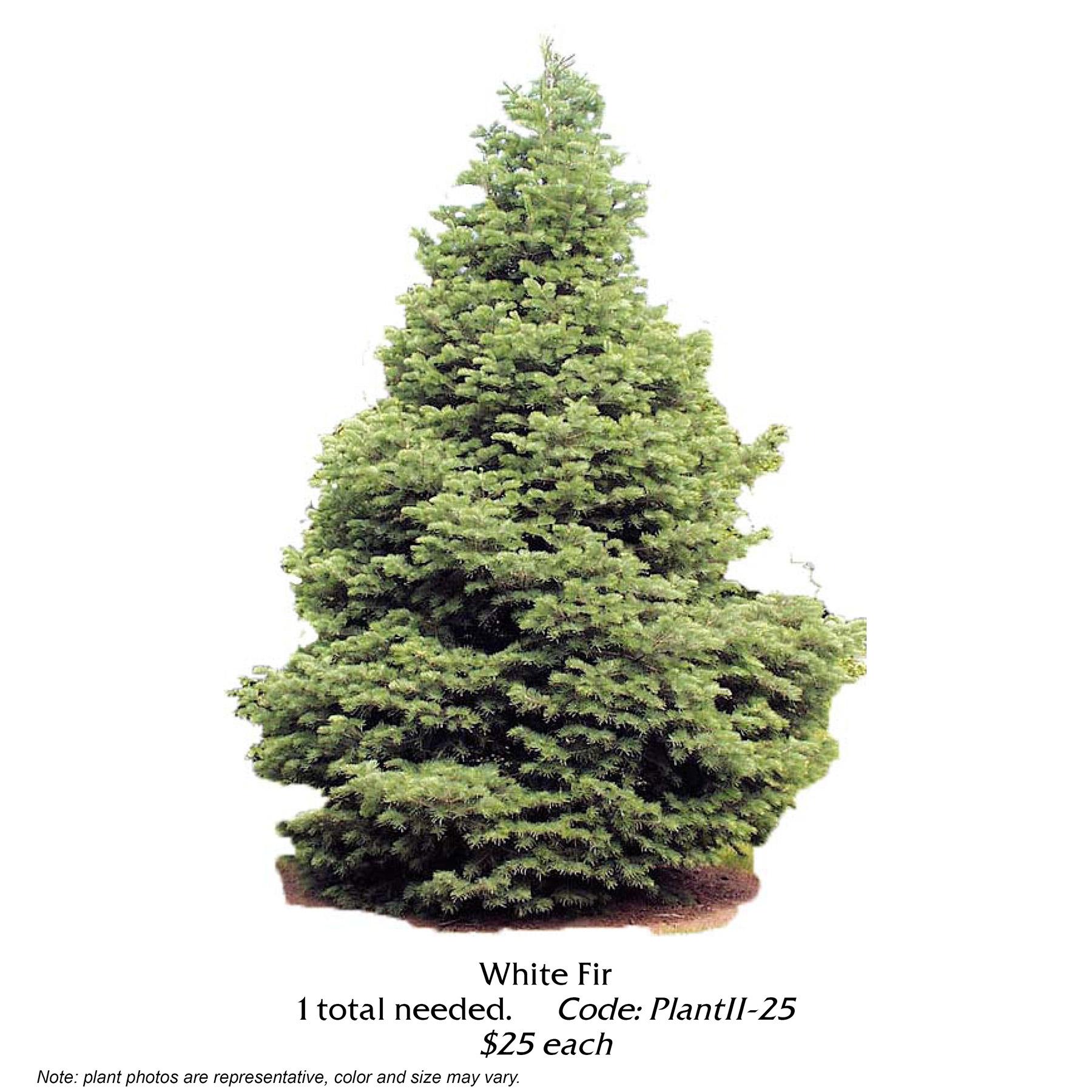 white fir tree.jpg