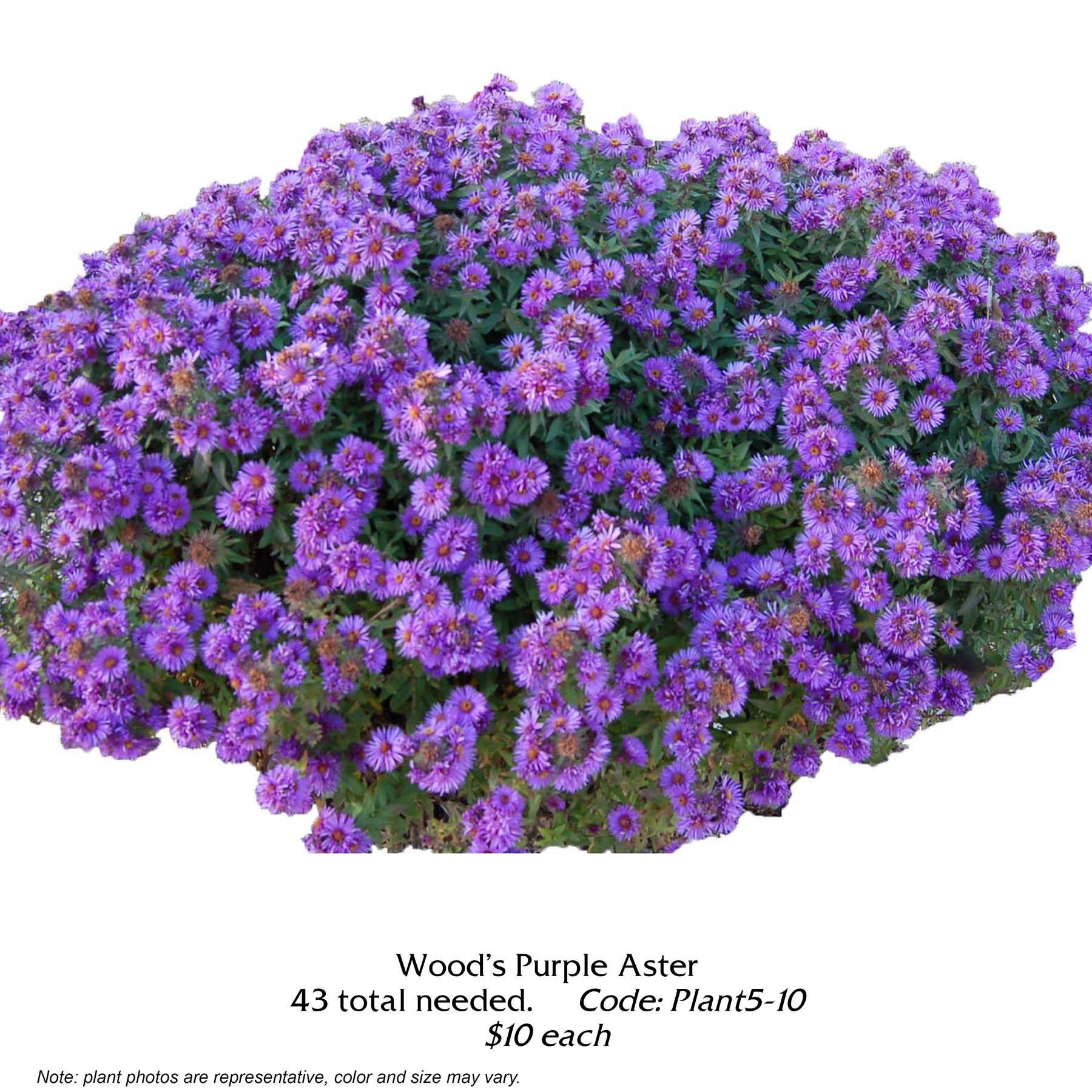 woods purple aster.jpg