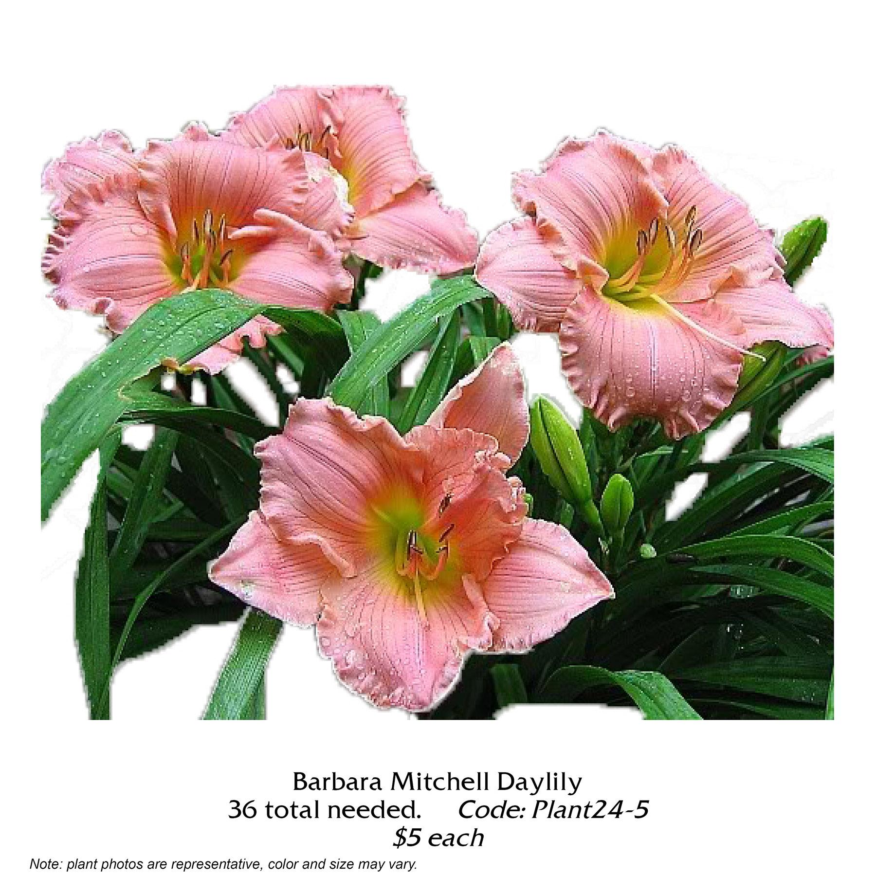 Barbara Mitchell Daylily.jpg
