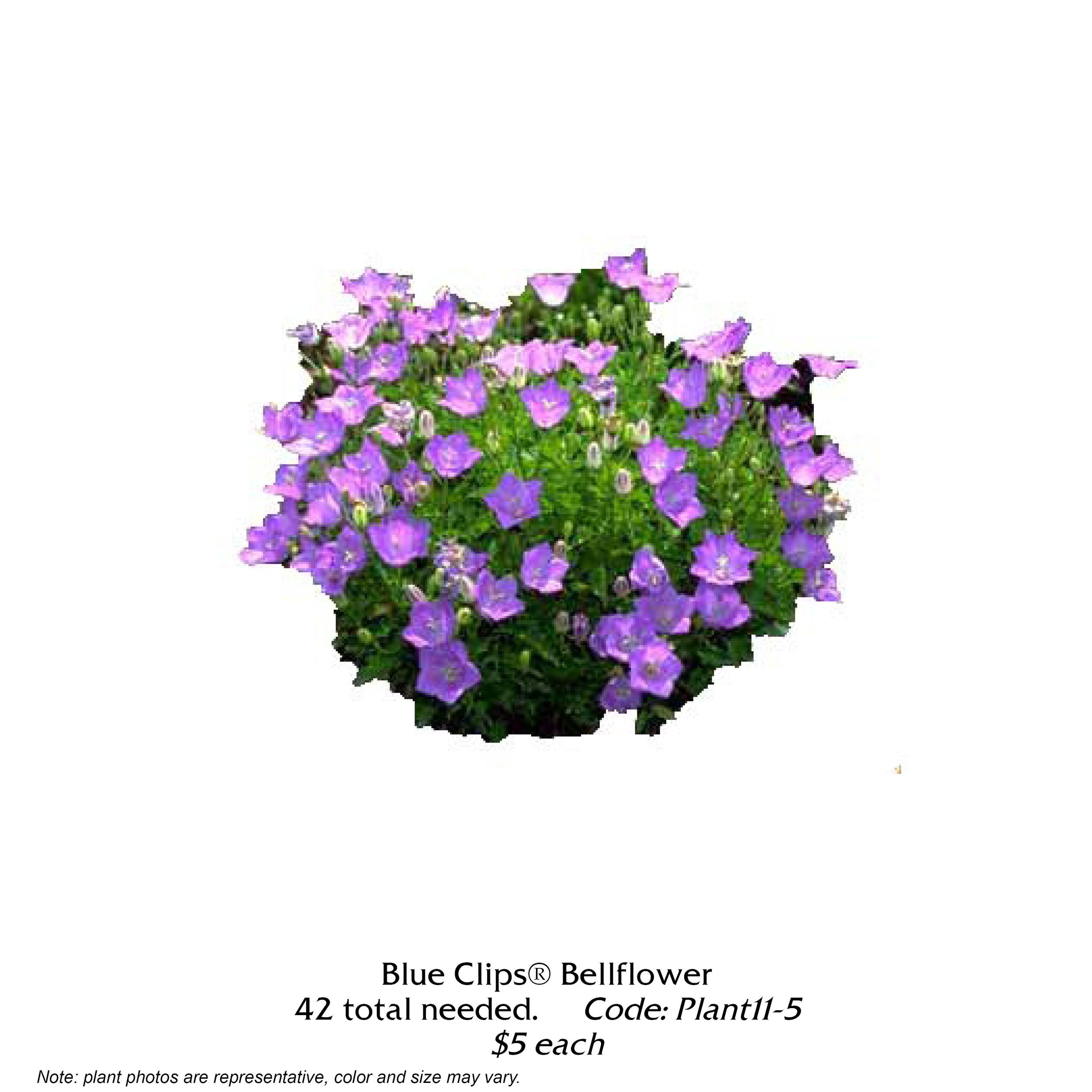 Blue Clips Bellflower.jpg