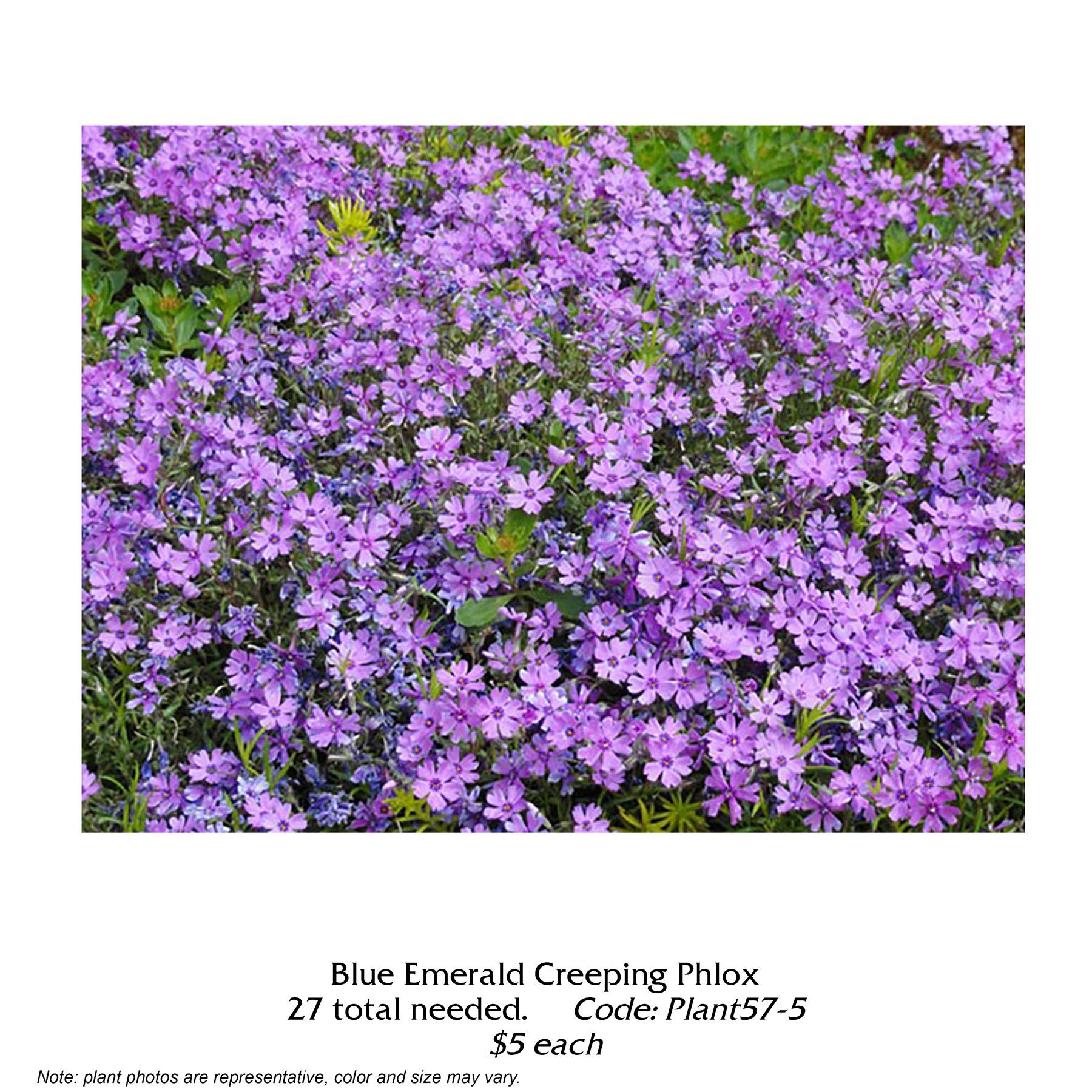 blue emerald creeping phlox.jpg