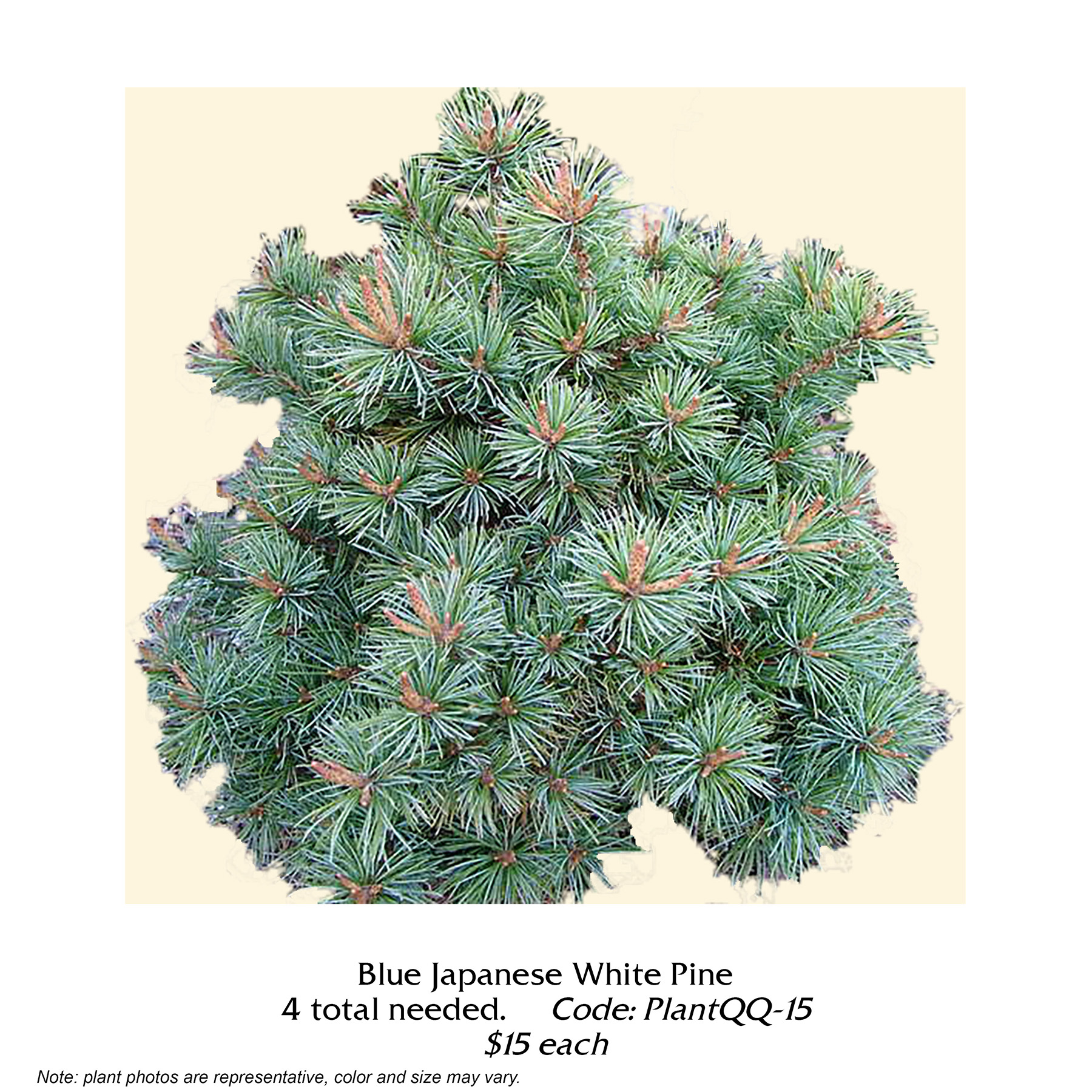 blue japanese white pine.jpg