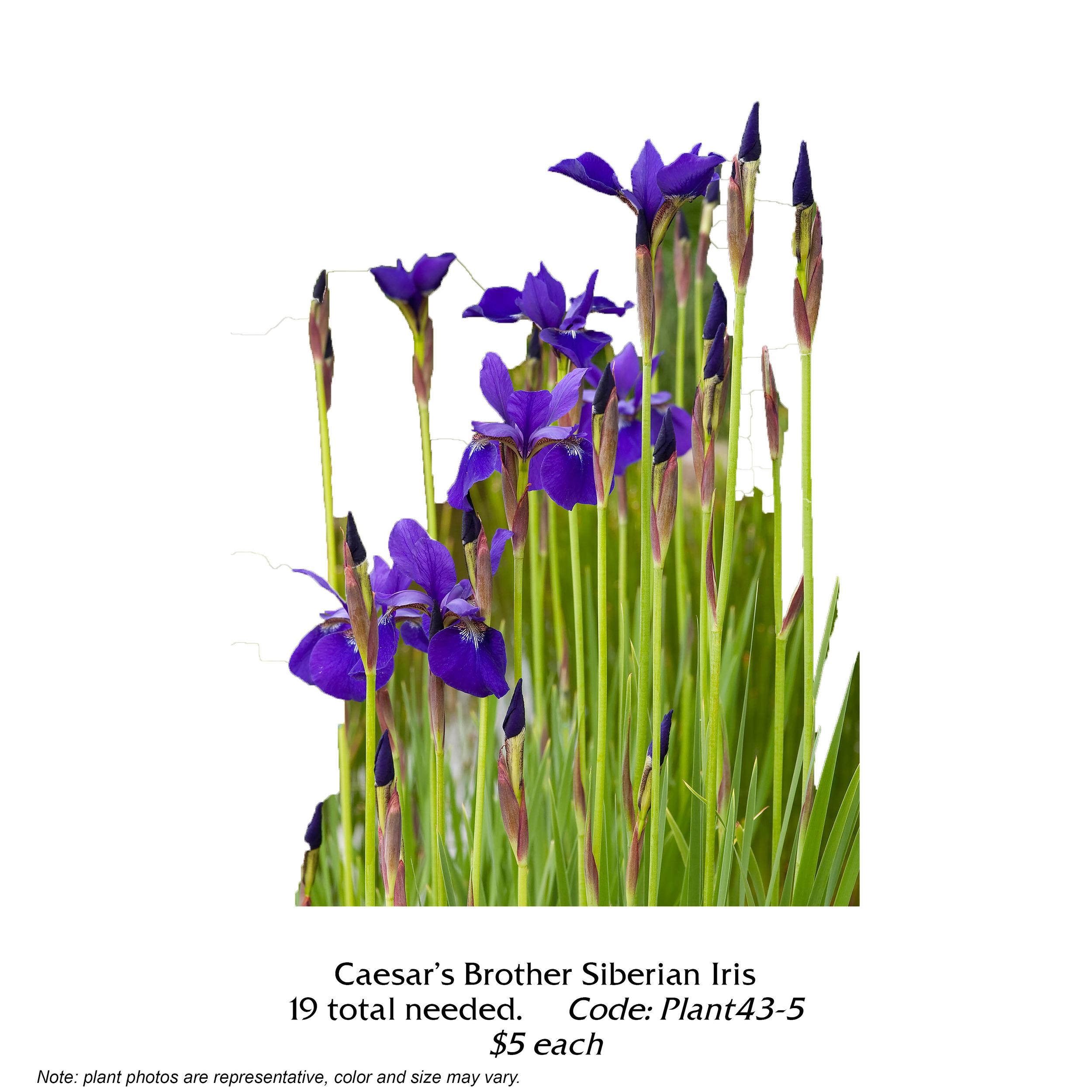 Caesars Brother Siberian Iris.jpg